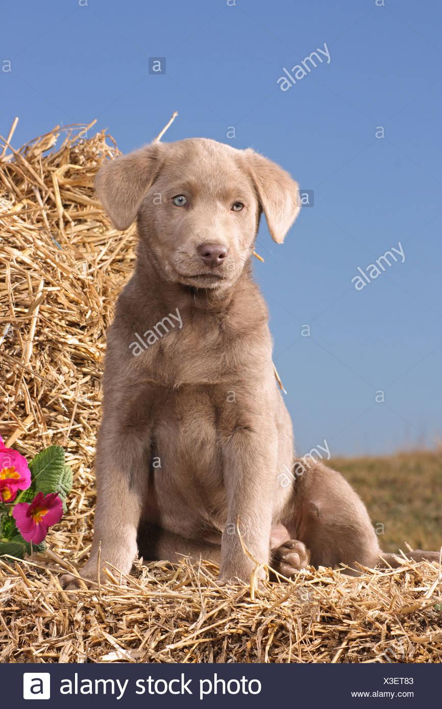 Grey Labrador Retriever Puppy Sitting In Straw Stock Photo Alamy
