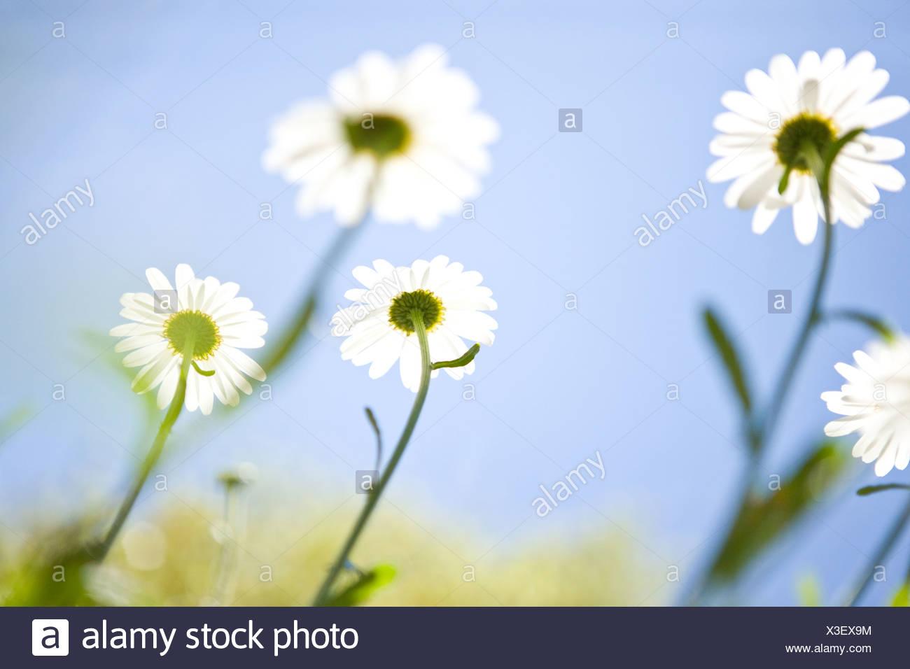 Ox-eye daisies against a summer sky - Stock Image