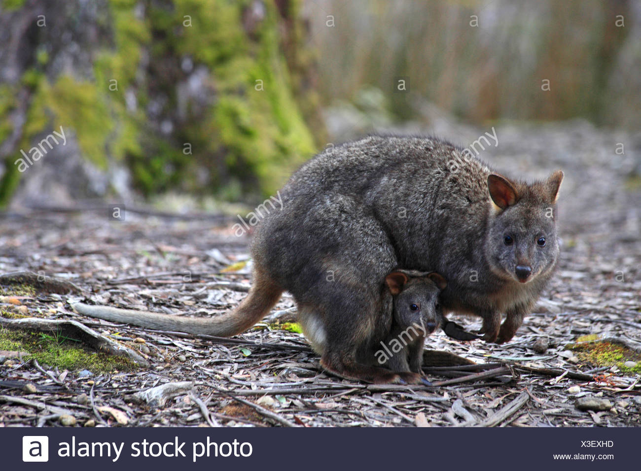 Rufous Wallaby Red Bellied Pademelon Tasmanian Pademelon Thylogale Billardierii Female With Pup In Pouch Australia Tasmania Stock Photo Alamy