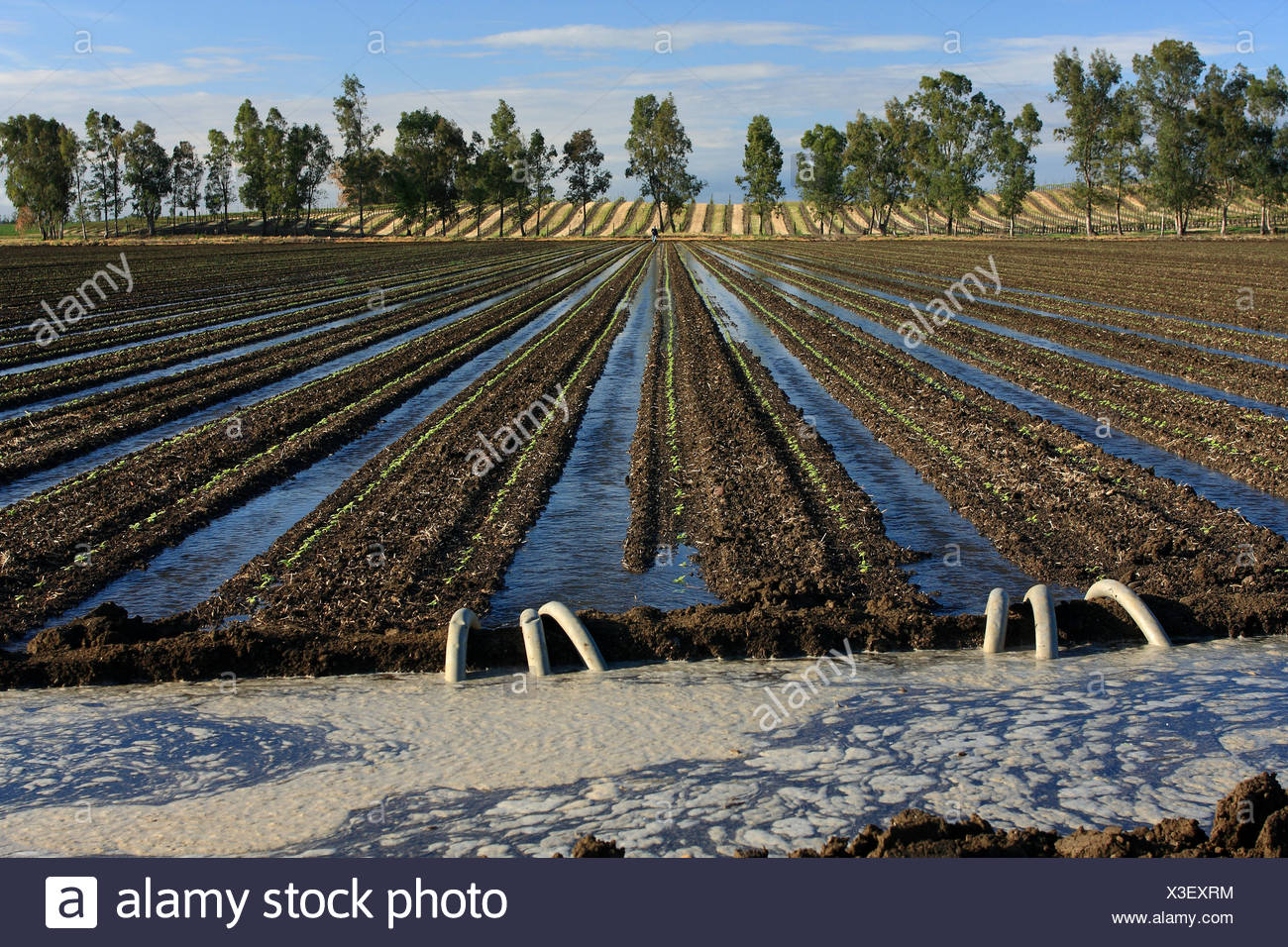 Field of seedling sunflowers being furrow irrigated. Siphon tubes transfer water from the irrigation ditch to the furrows. - Stock Image