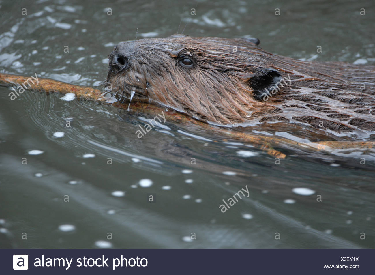 Beavers, rodents, Castor canadensis, water, animal, animals, Germany, Europe, - Stock Image