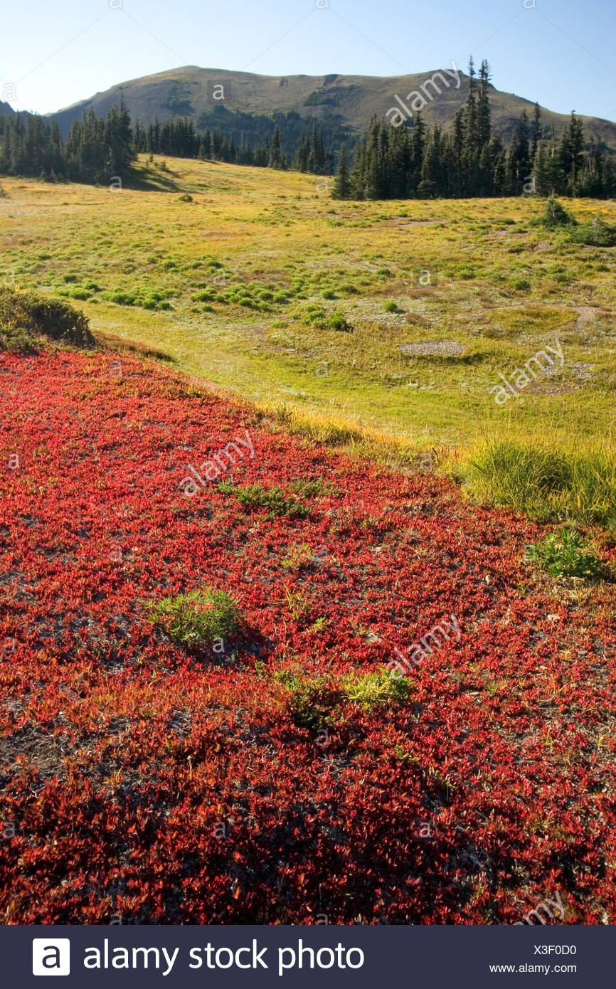 Meadow in the Olympic Wilderness near Obstruction Point in Olympic National Park, Washington State - Stock Image