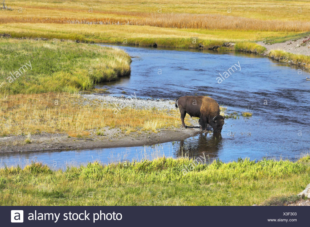 The bison drinks - Stock Image