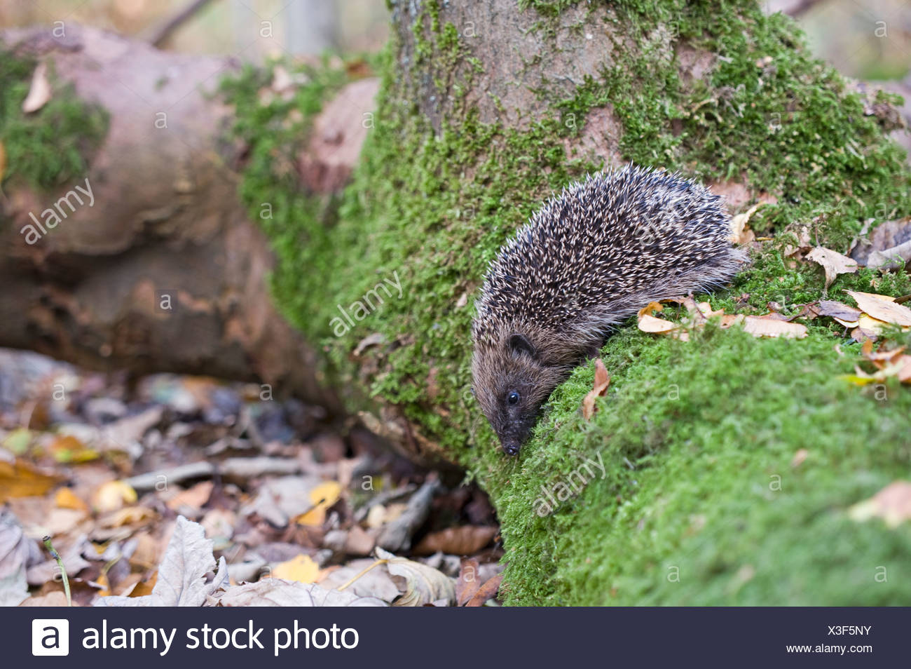 Hedgehog Erinaceus europaeus in woodland Norfolk UK autumn Stock Photo