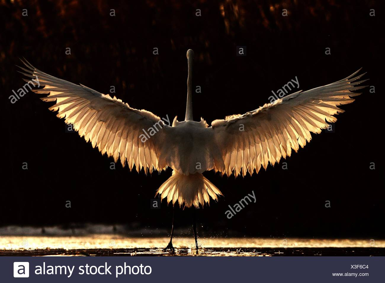 Great Egret with back backlight with wings open - Stock Image