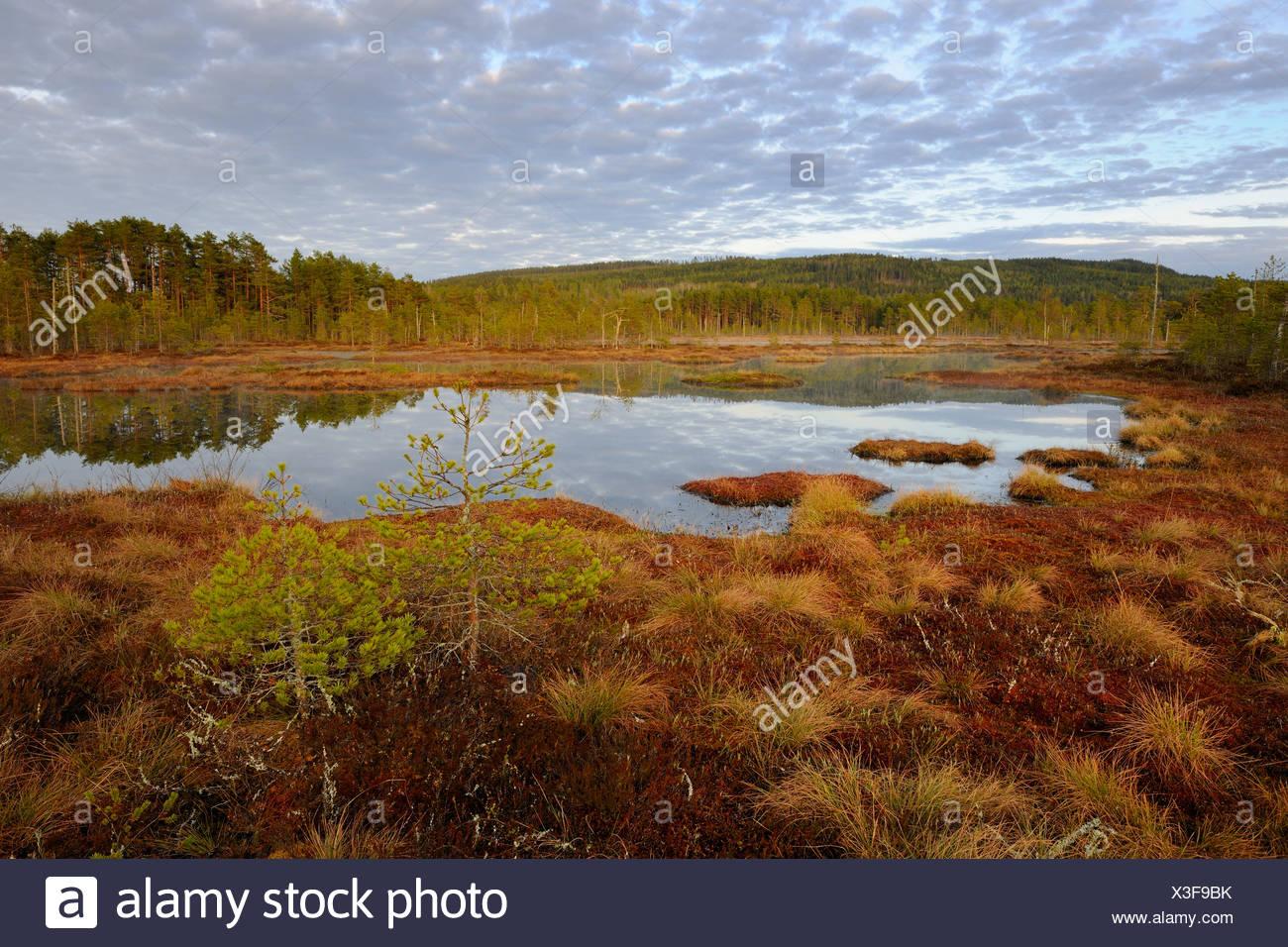 Swamp in the morning, Dalarna, Sweden, Scandinavia, Europe - Stock Image