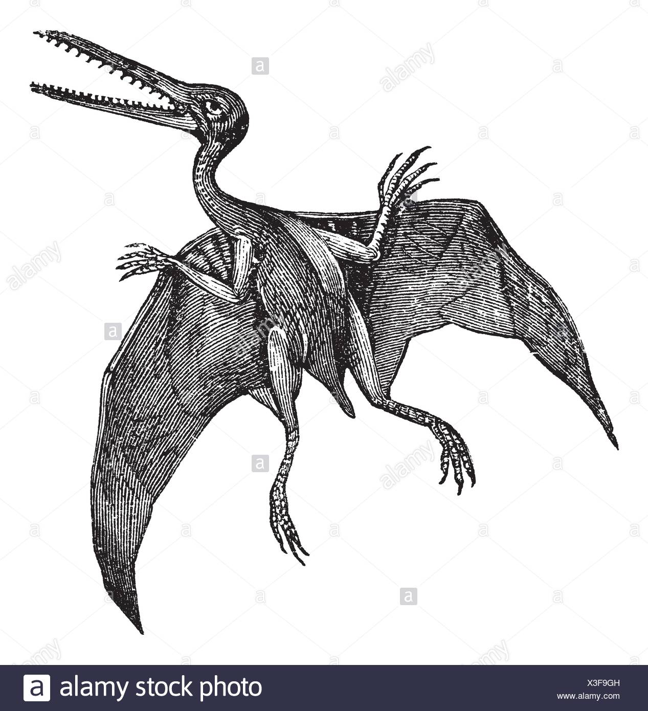 Pterodactylus or Pterodactylus antiquus, vintage engraving  Old engraved illustration of Pterodactylus isolated on a white background - Stock Image