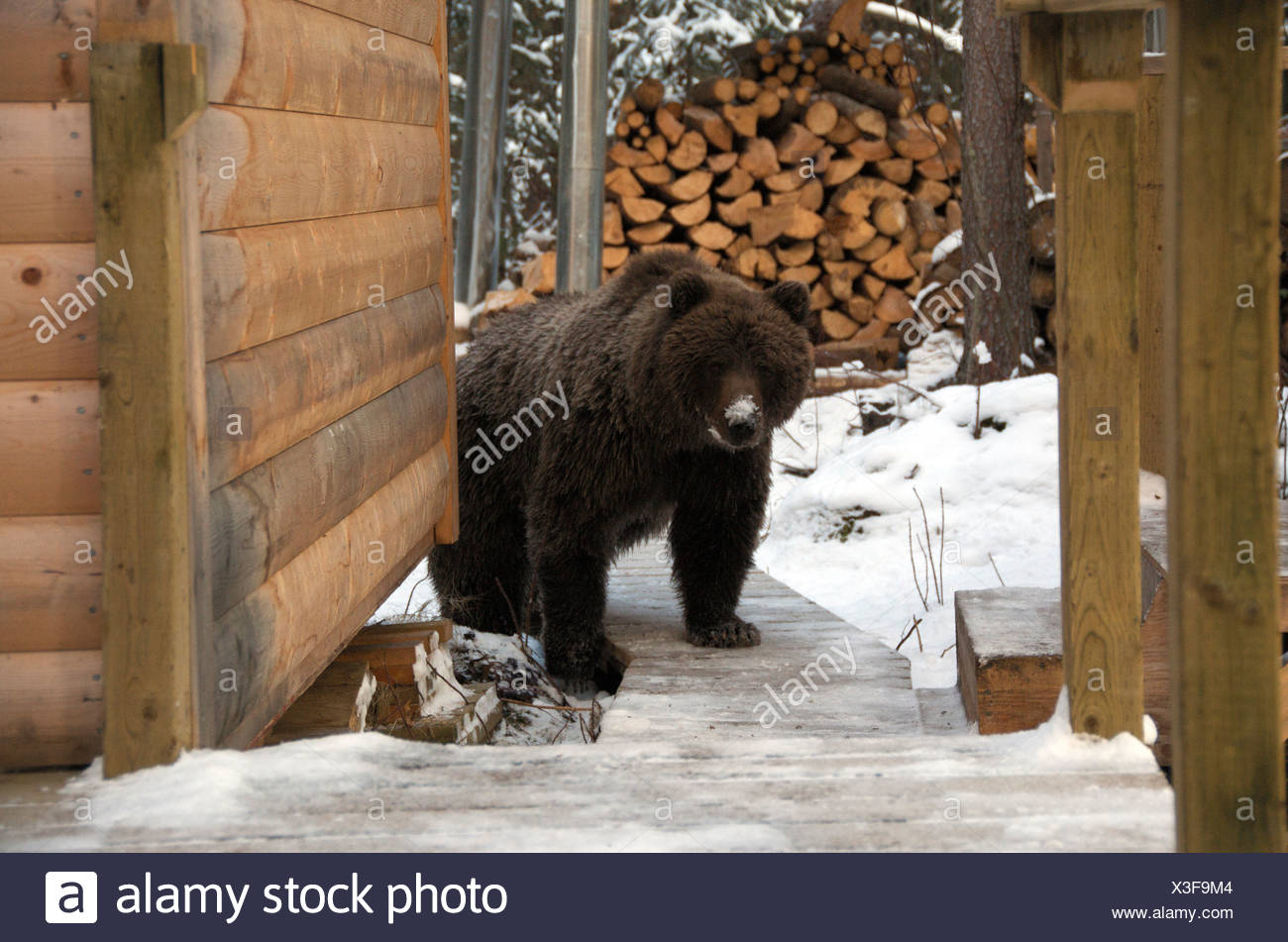 Grizzly Bear outside log cabin by Fishing Branch River, Ni'iinlii Njik Ecological Reserve, Yukon Territory, Canada - Stock Image