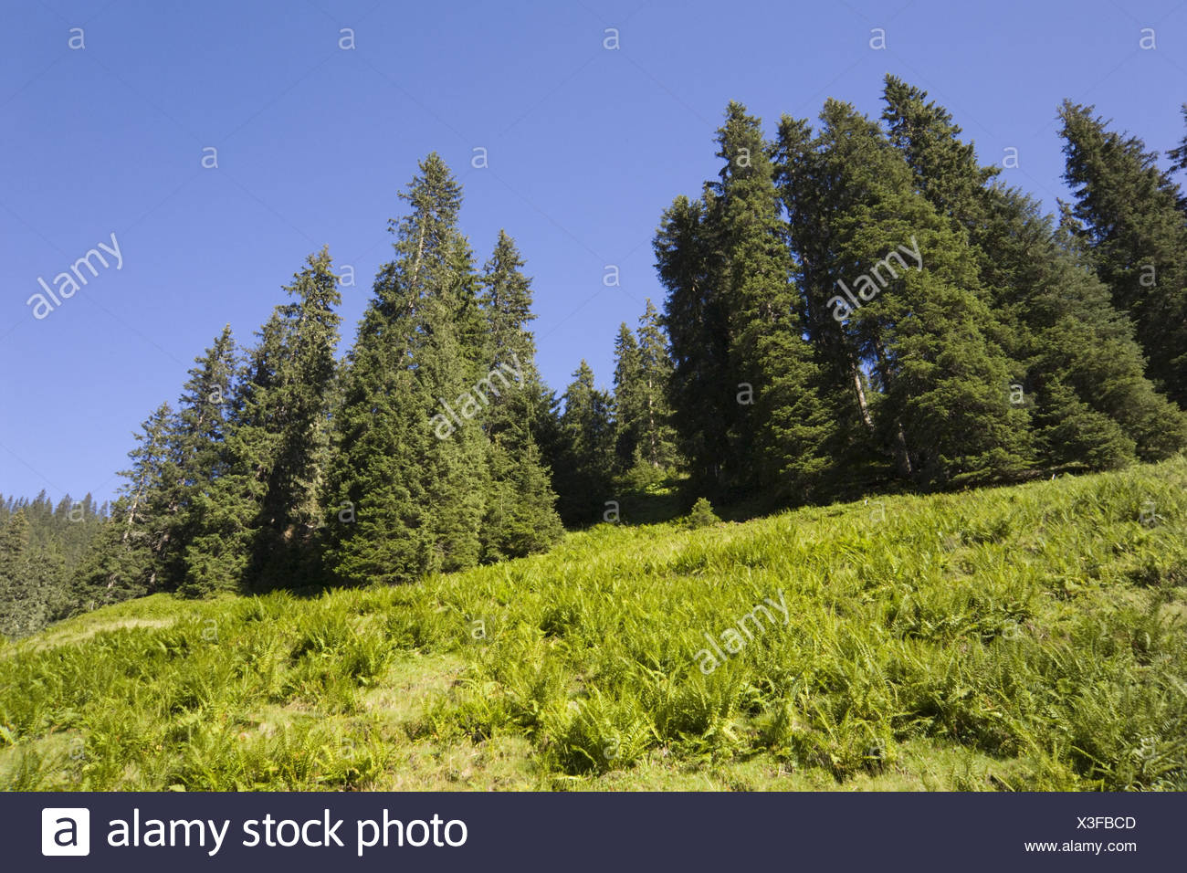 Mountainside, conifers, ferns, Stock Photo