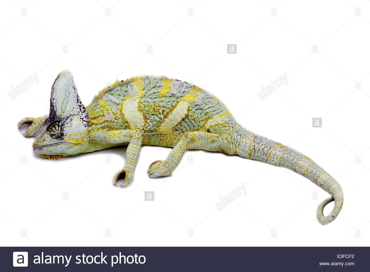 Chamaeleo calyptratus, Yemen chameleon, cone-headed chameleon, veiled chameleon - Stock Image