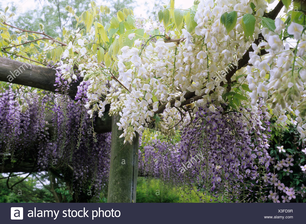 Pergola With Climbing White And Purple Wisteria Flowers Garden
