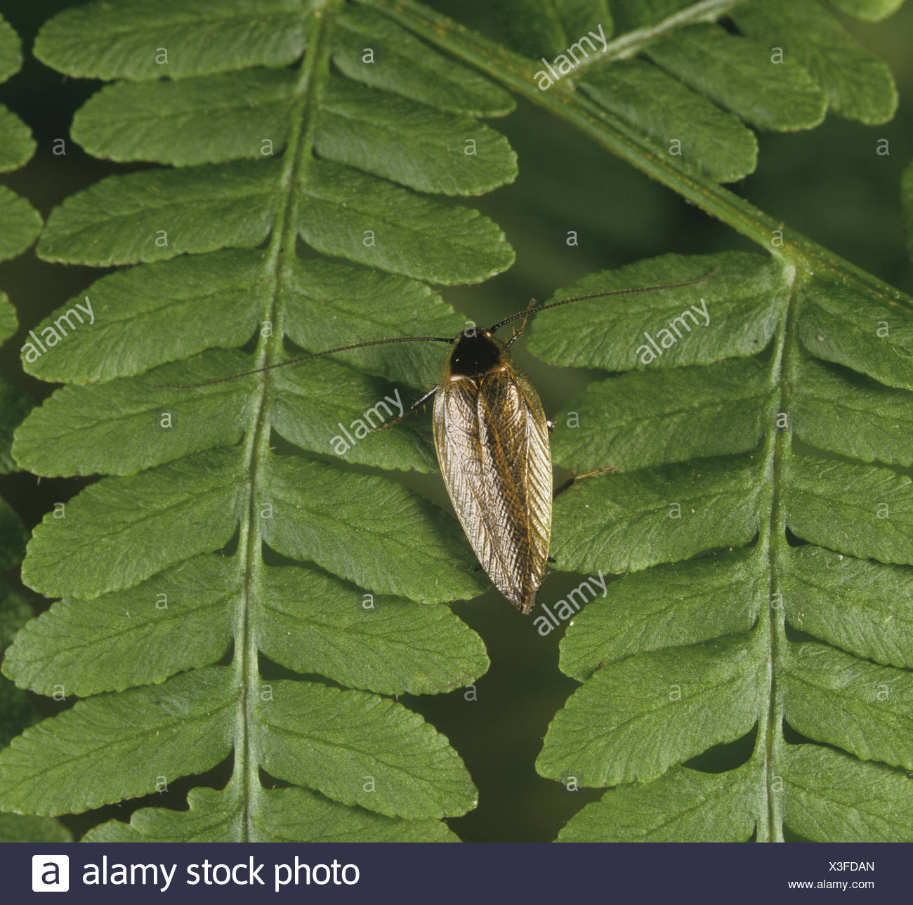 Dusky Cockroach - Ectobius lapponicus - Stock Image