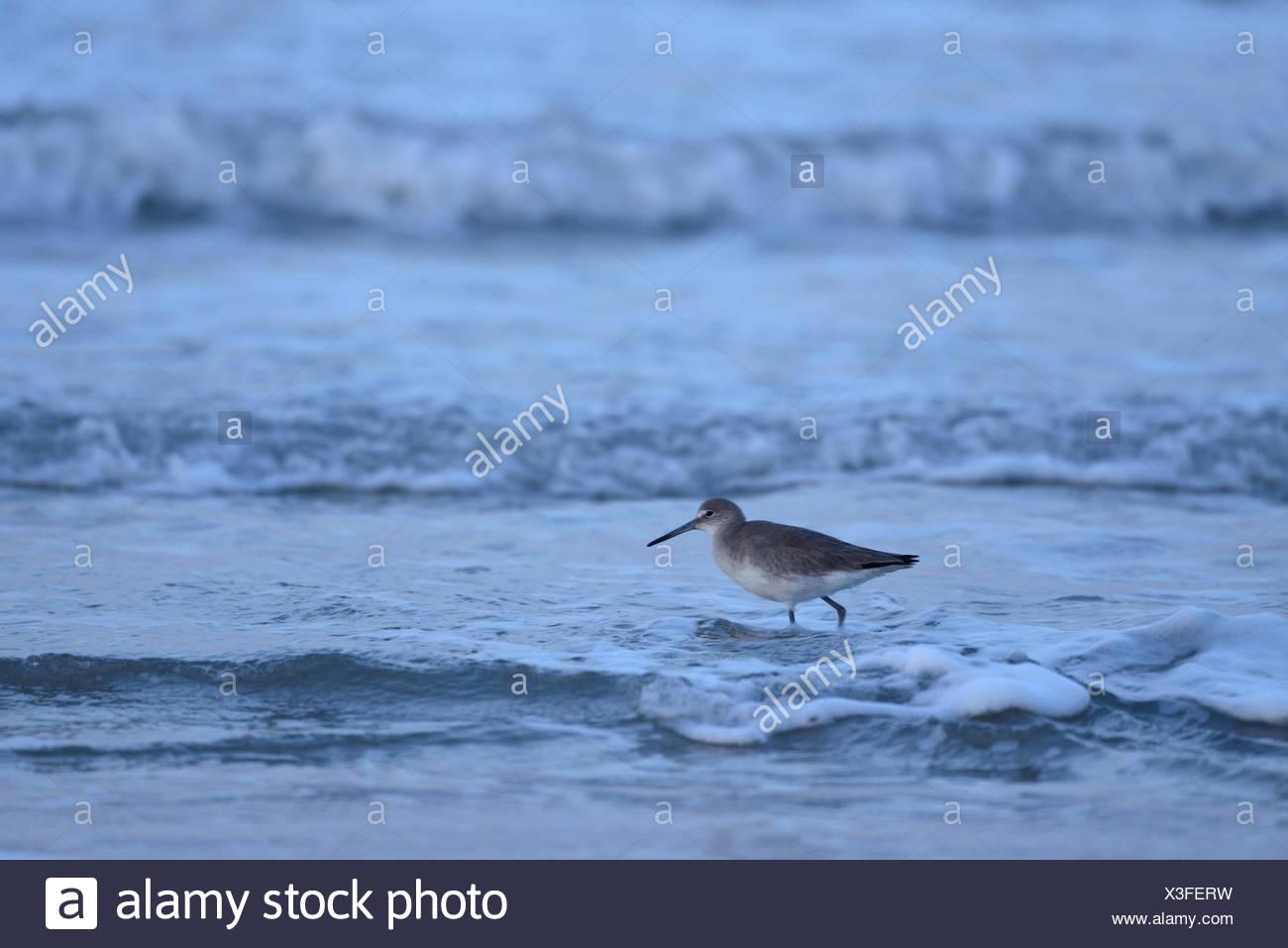 USA, United States, America, Texas, Corpus Christi, Padre Island, bird, surf, ocean Stock Photo