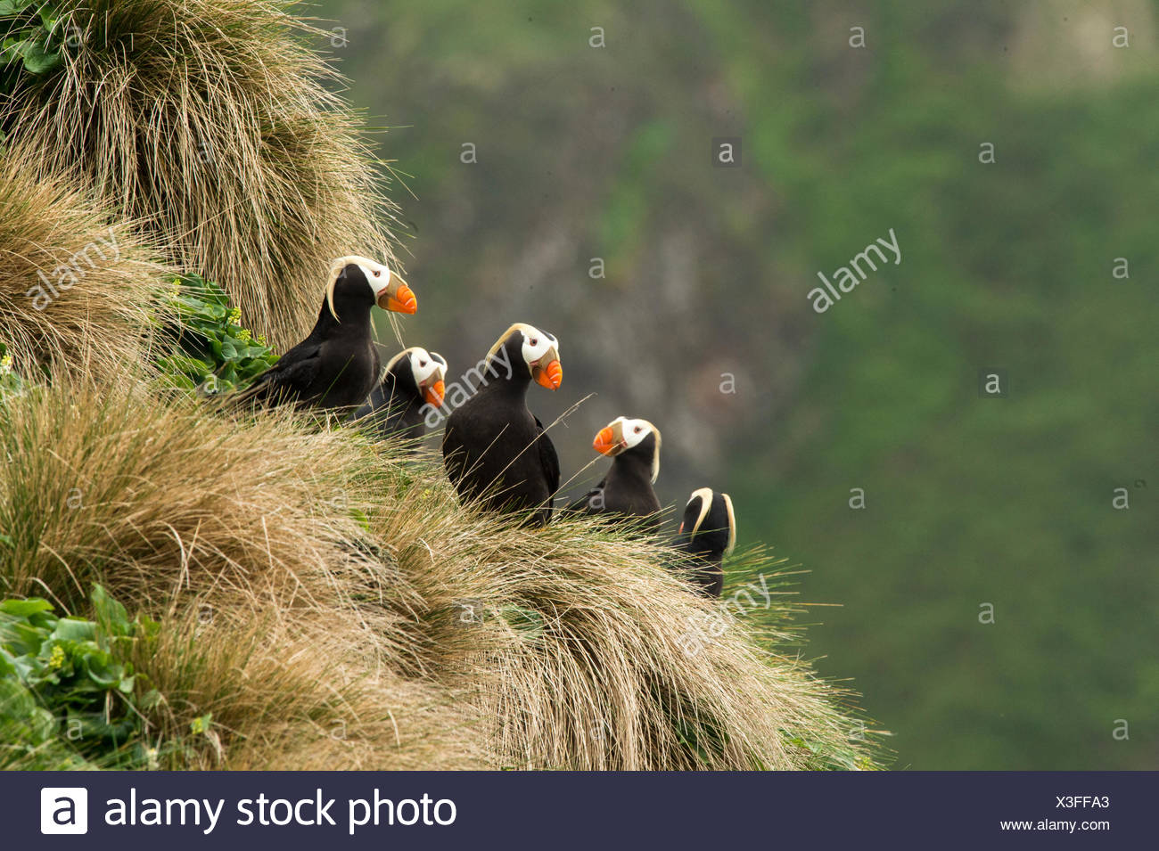 A group of tufted puffins, Fratercula cirrhata, sit in front of their burrows. Stock Photo