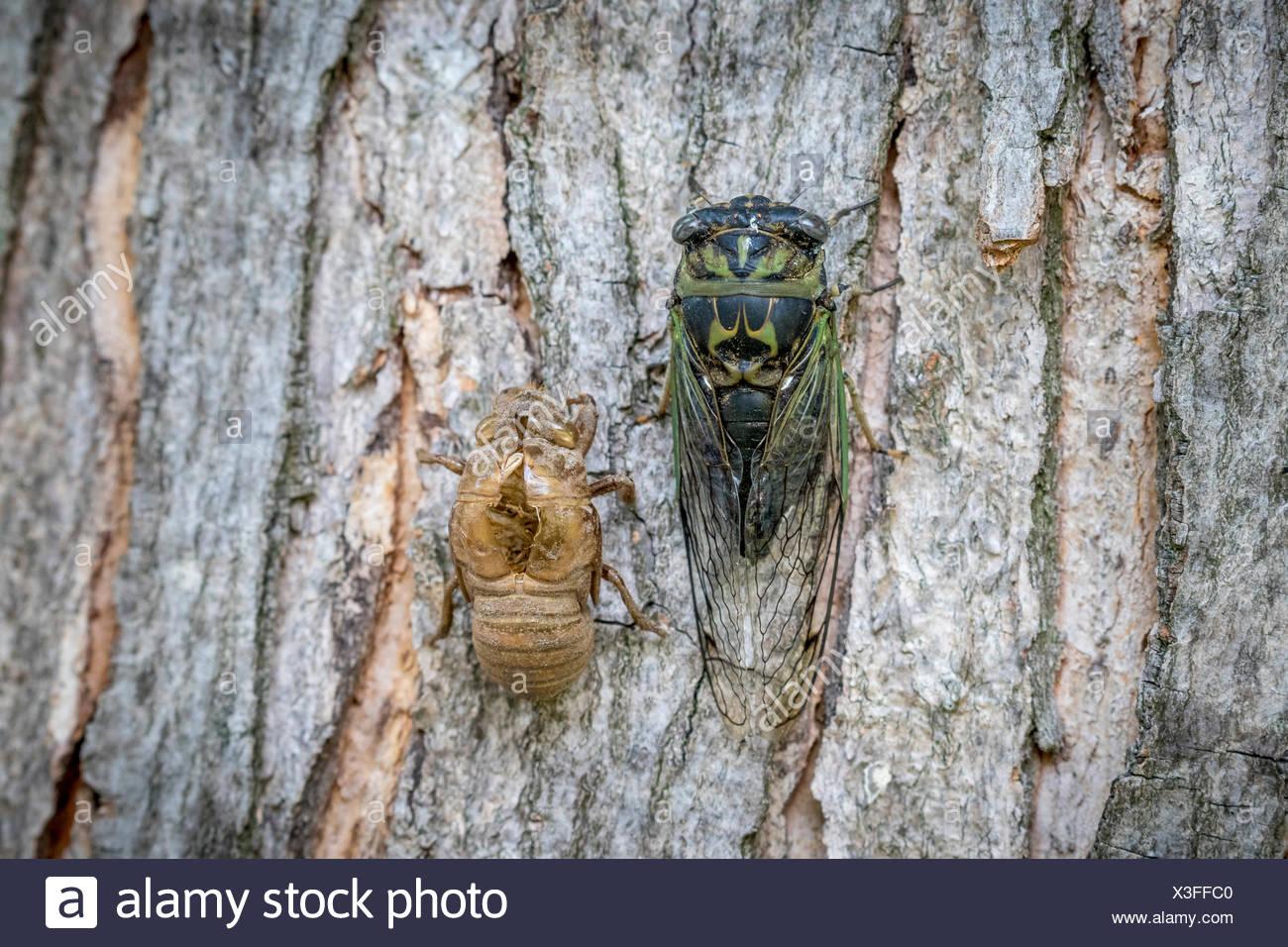 Dog-day Cicada (Neotibicen canicularis) beside a molted cicada exoskeleton, Toronto, Ontario, Canada Stock Photo