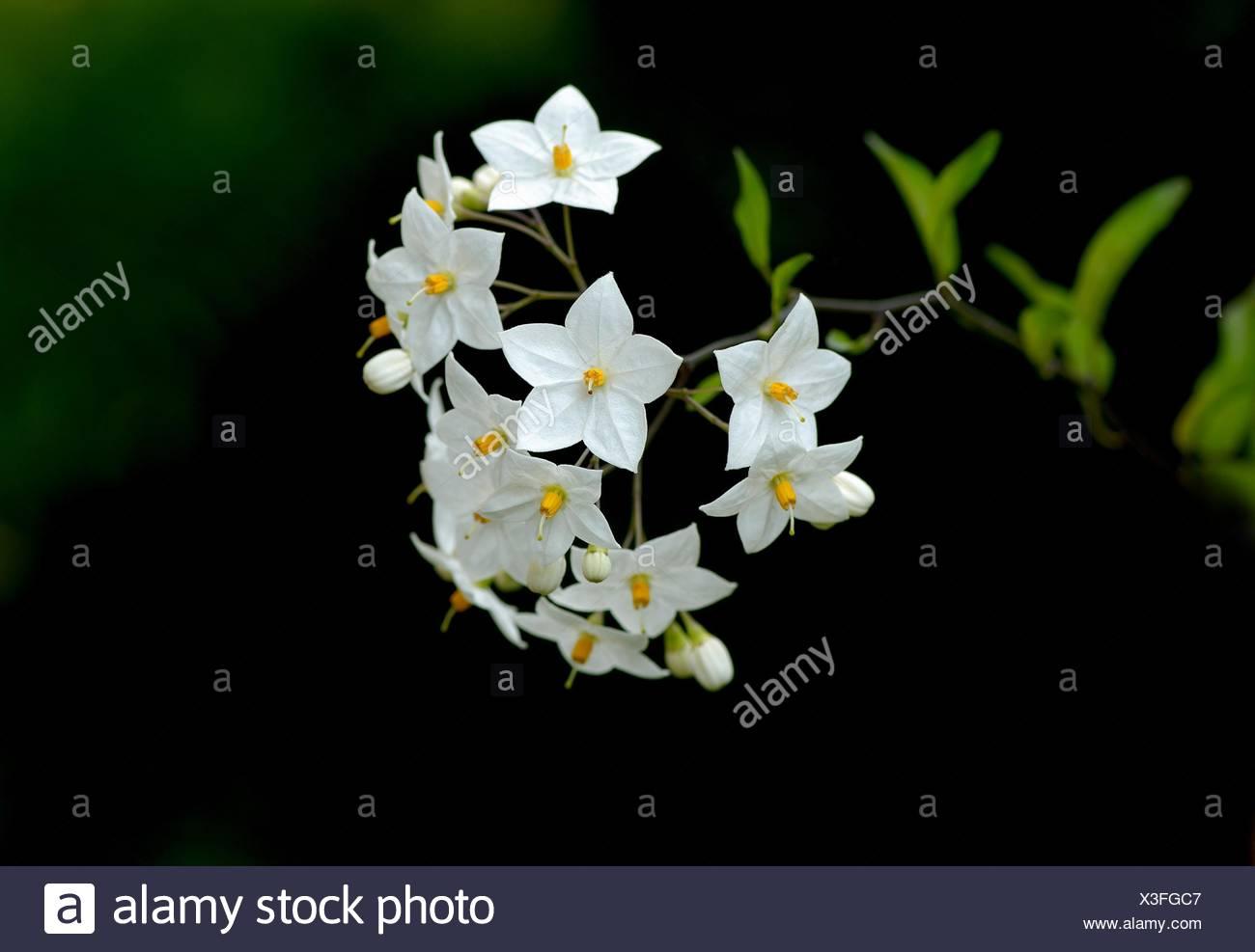 White potato tree - Stock Image