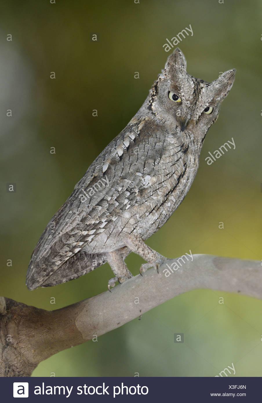 Scops Owl - Otus scops - Stock Image