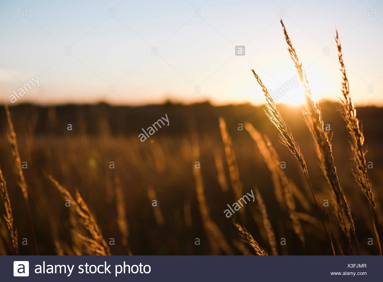 Wheat field at sunset, Missouri, USA - Stock Image