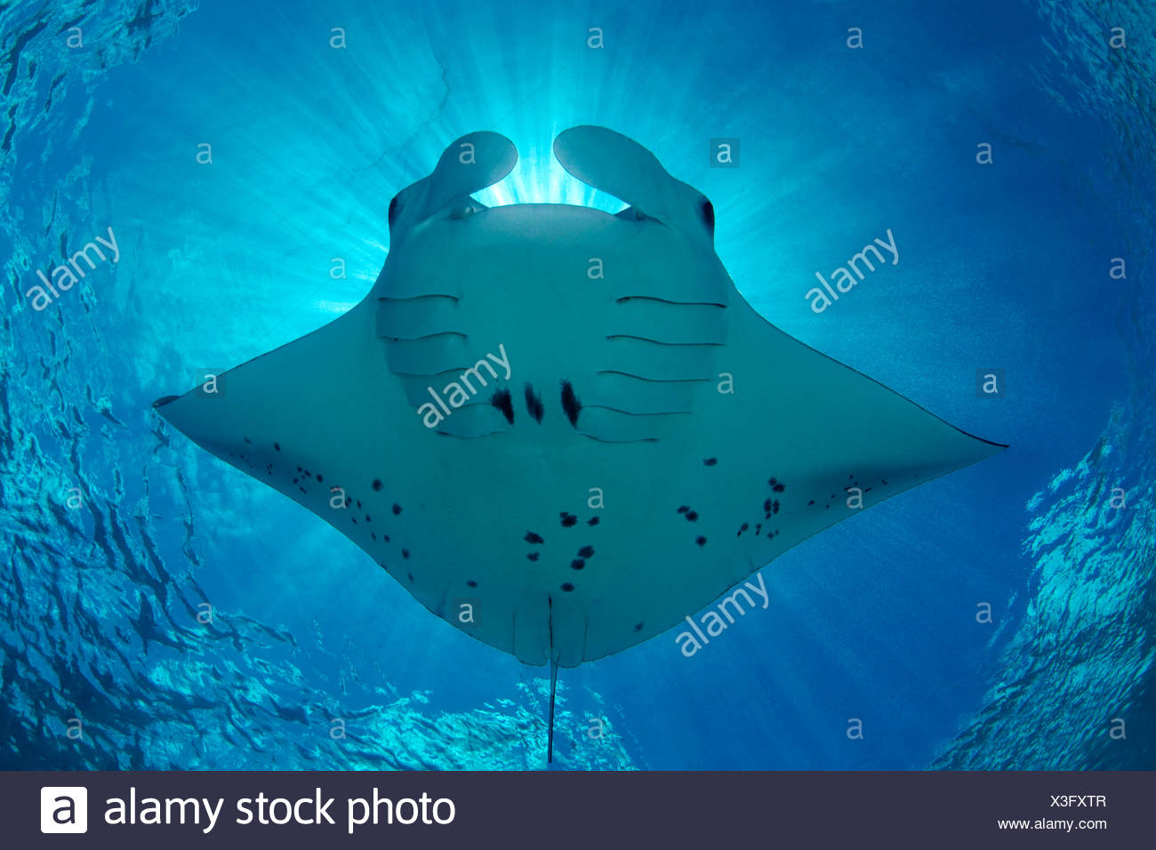 Reef manta (Manta alfredi) feeding plankton, Baa Atoll, Maldives, Indian Ocean, underwater shot Stock Photo