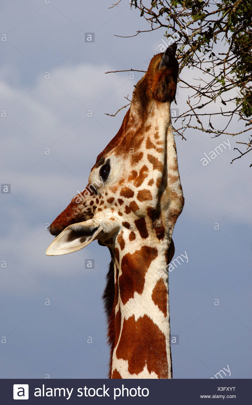 reticulated giraffe (Giraffa camelopardalis reticulata), stretching the neck and feeding from high branches, Kenya, Sweetwaters Game Reserve Stock Photo