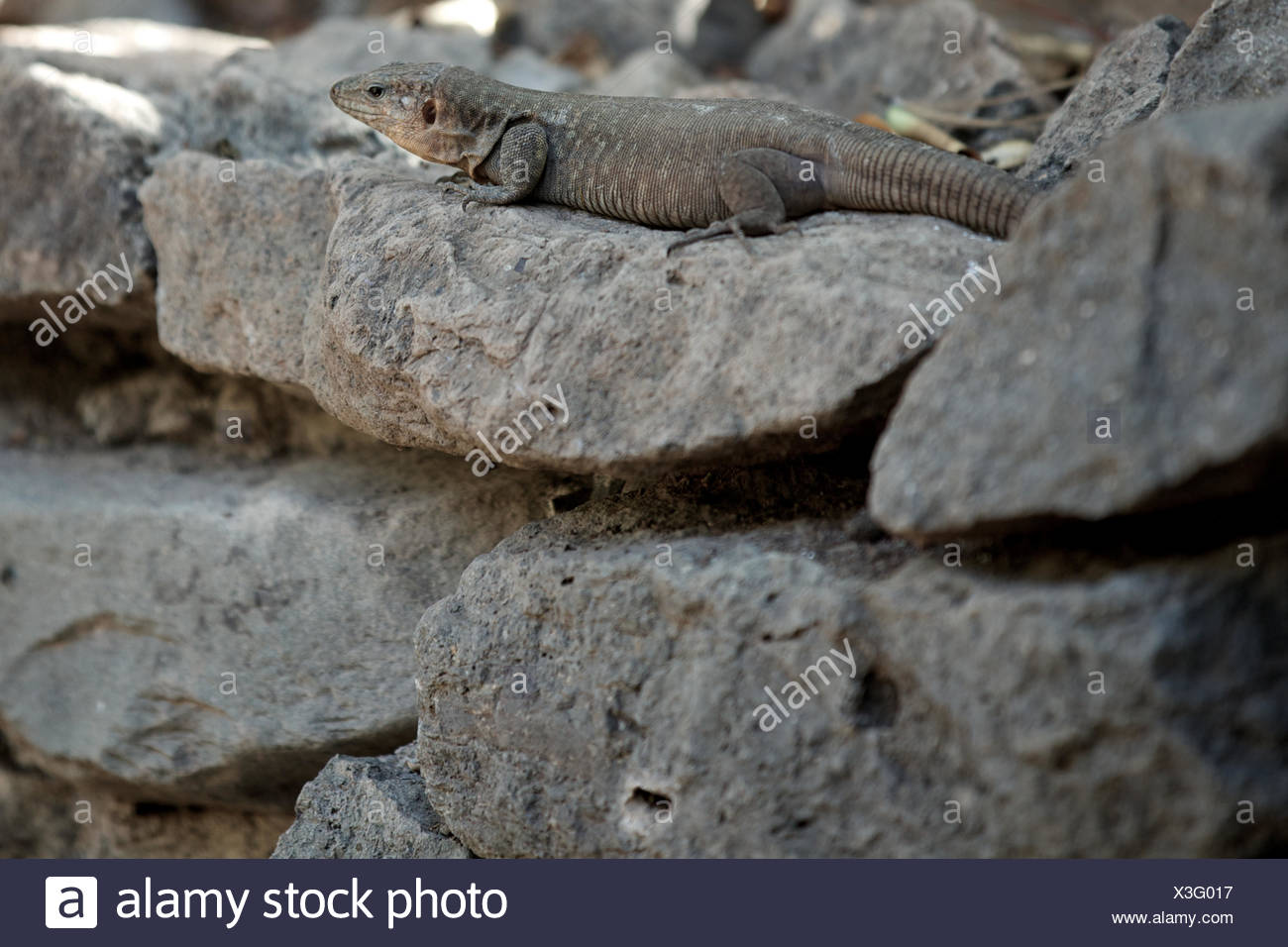 lizard on rock at zoo. animal, swift, reptile, alert. Stock Photo