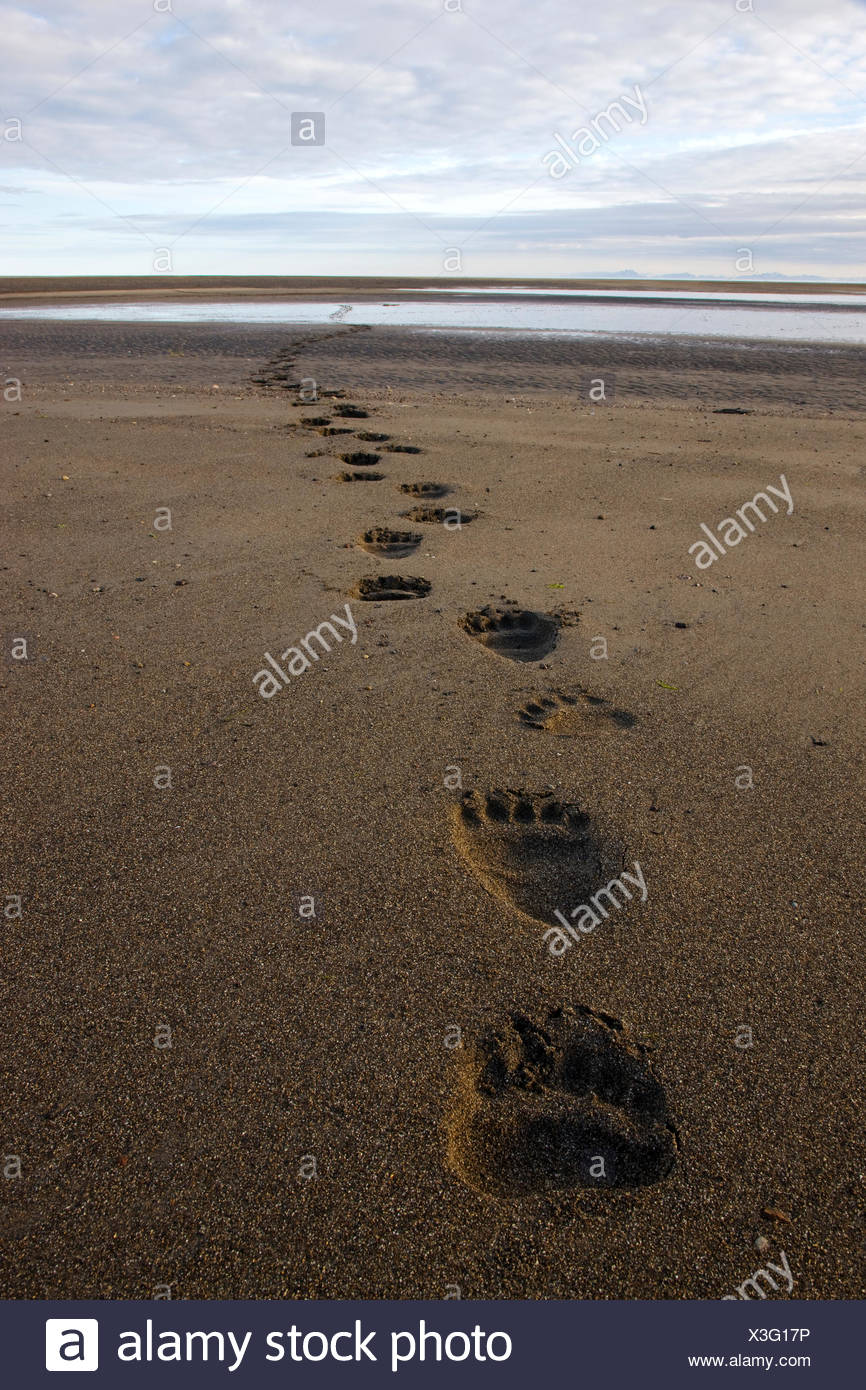 Brown / Grizzly Bear (Ursus arctos horribilis)  tracks on tidal flats, Alaska, USA - Stock Image