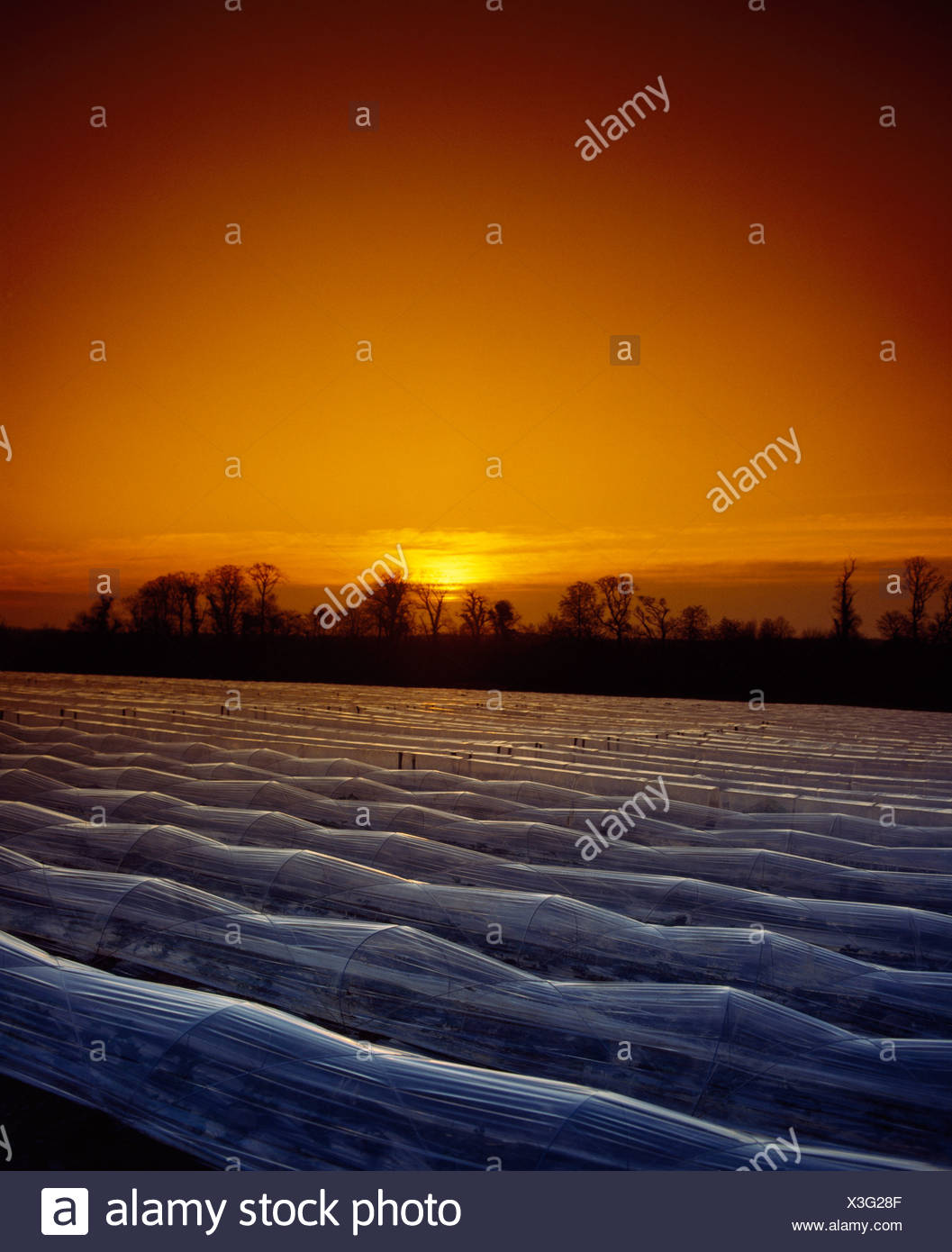 Strawberries Under Cloches - Stock Image