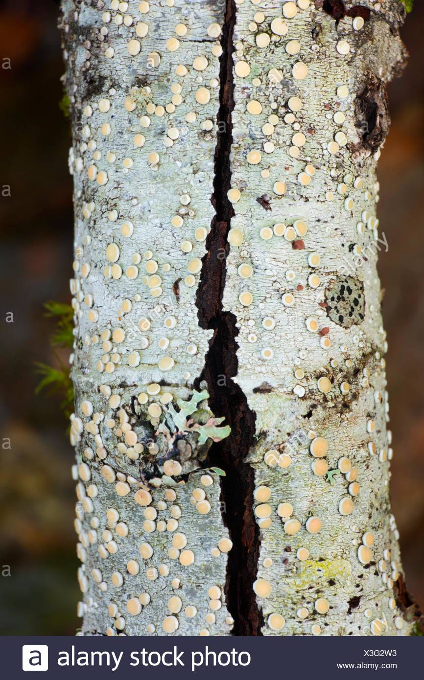 Lichen along Spruce Run Creek Trail, Clatsop State Forest, Oregon. - Stock Image