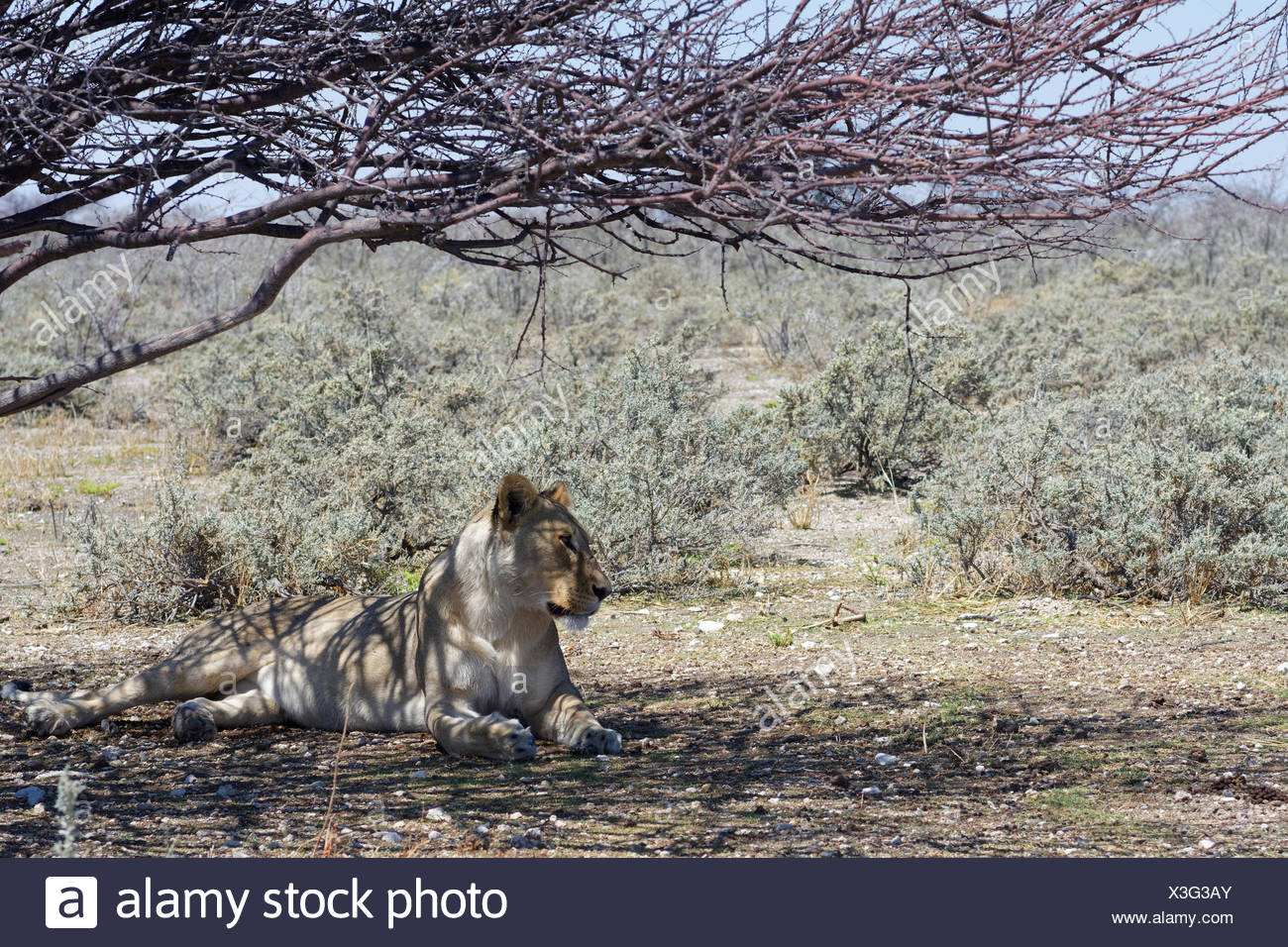 African lion (Panthera leo), lioness lying in the shade of a tree, alert, Etosha National Park, Namibia - Stock Image