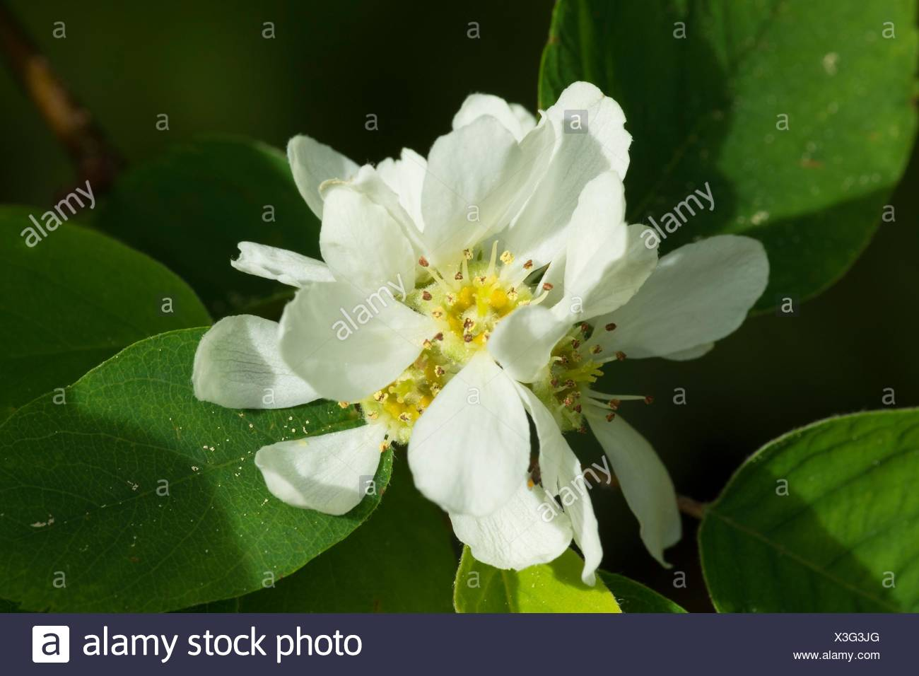 Serviceberry, New River Area of Critical Environmental Concern, Coos Bay Bureau of Land Management District, Oregon. - Stock Image