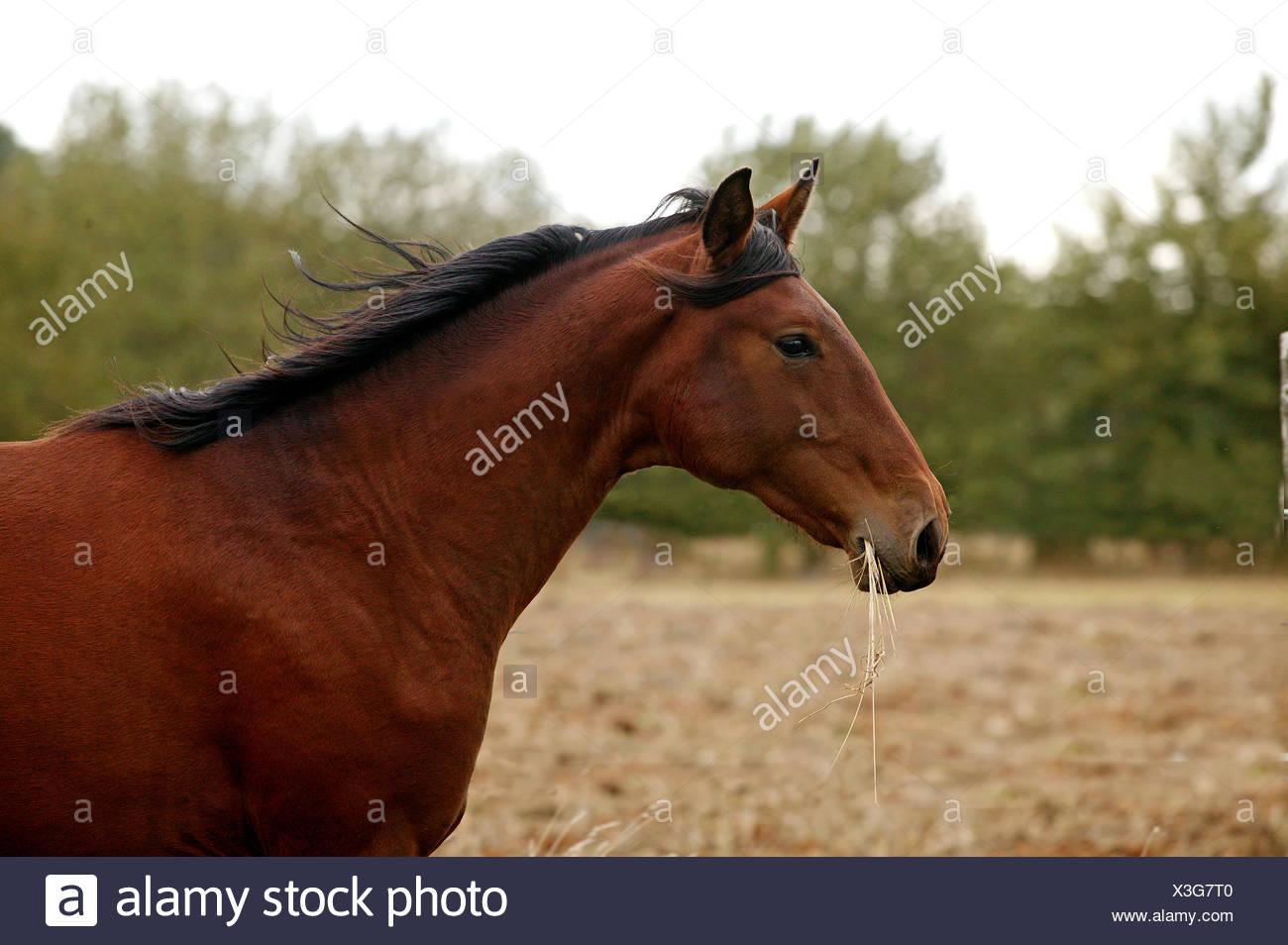 Lusitano Horse, Stallion eating Grass - Stock Image
