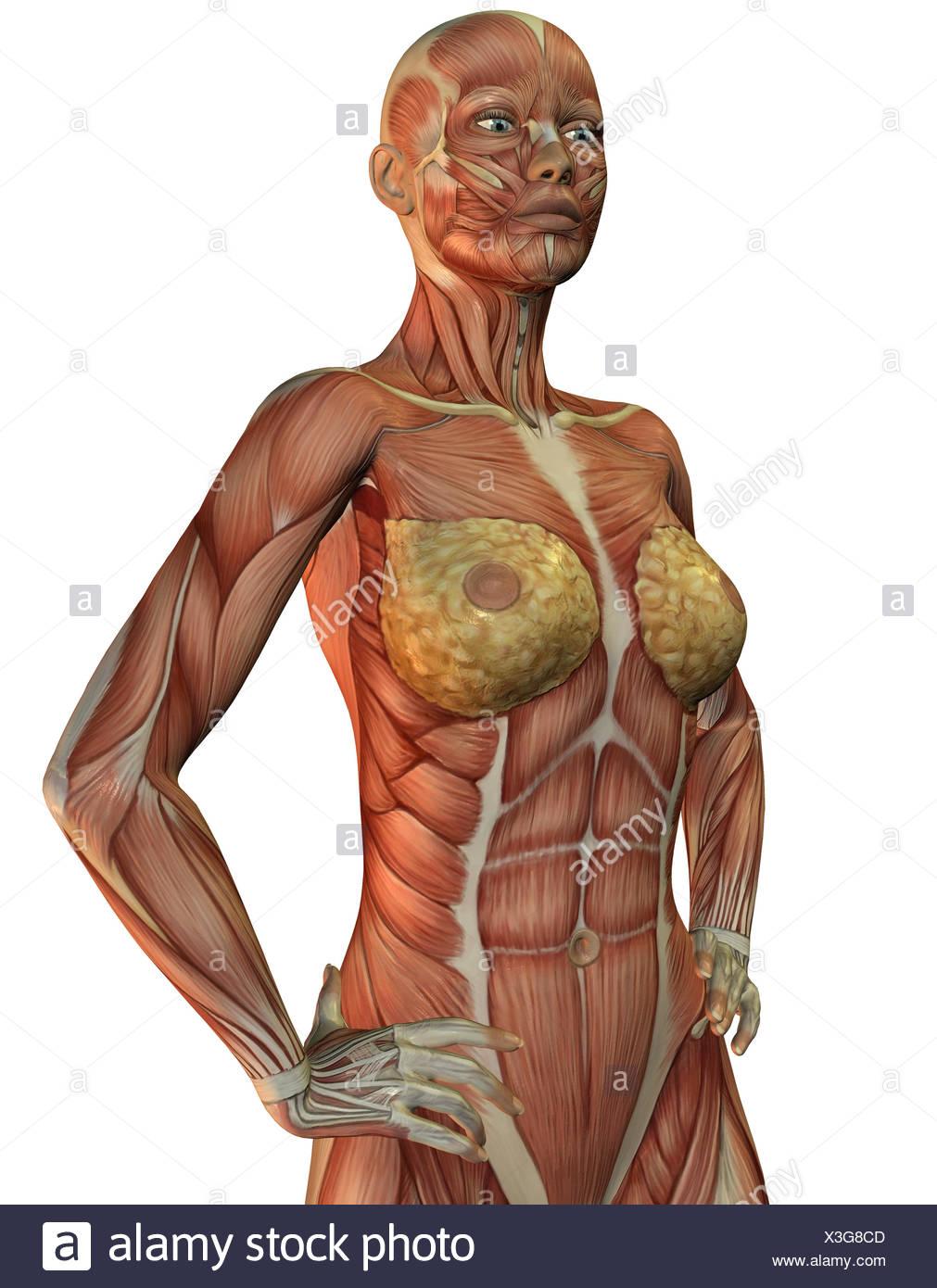 3D Rendering der Anatomie und Muskeln einer Frau Stock Photo ...