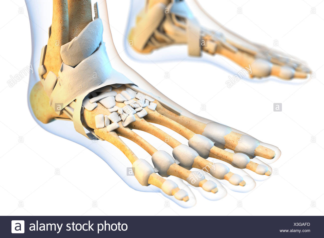 Ligaments Of The Human Foot Illustration Stock Photo 277569361 Alamy