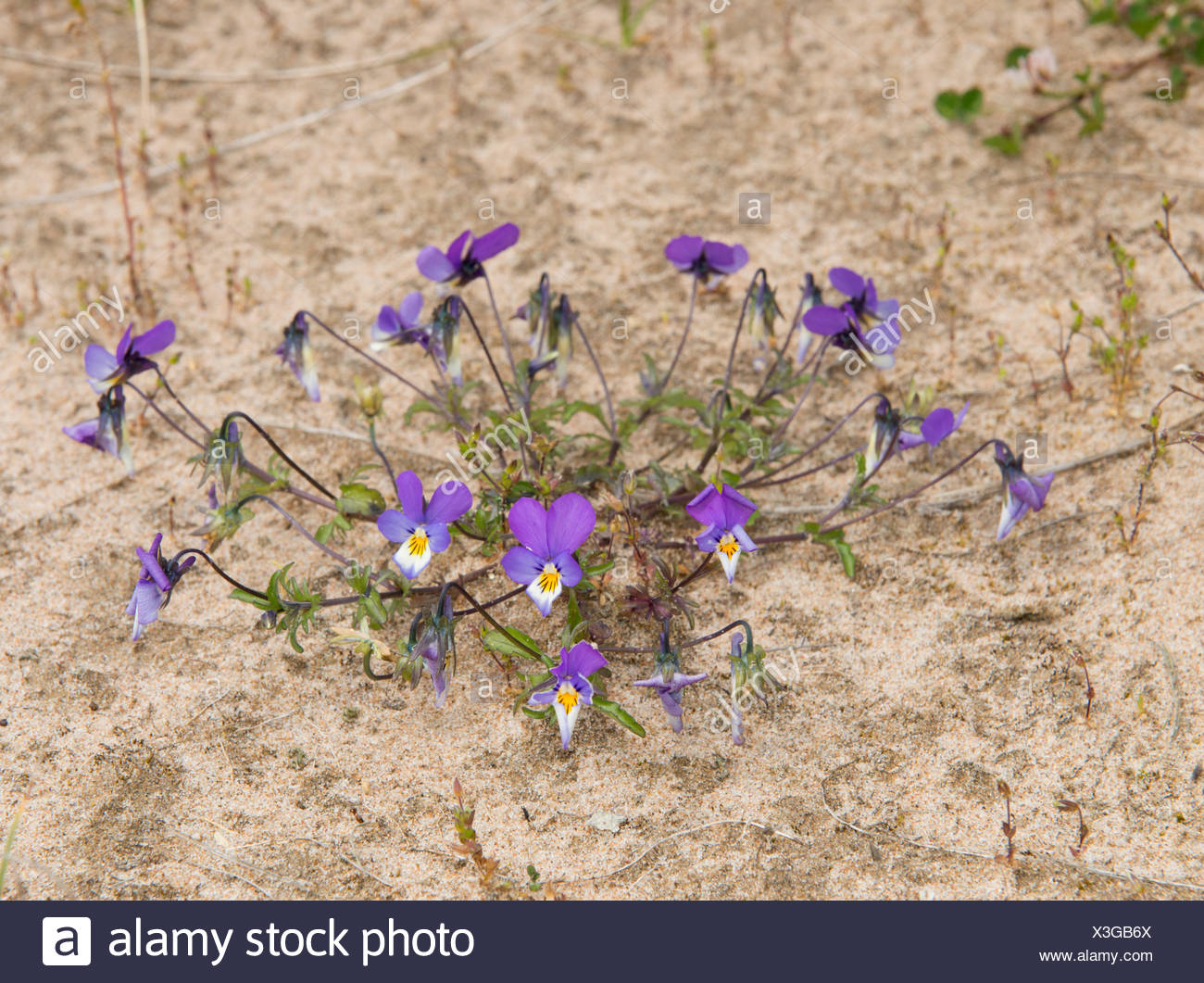Wild Pansy Viola tricolor growing in sand dunes on Sands of Forvie National Nature Reserve Aberdeenshire Scotland - Stock Image