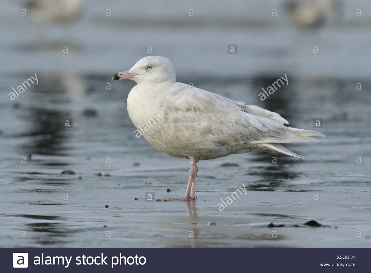 Glaucous Gull Larus hyperboreus - First Winter. - Stock Image