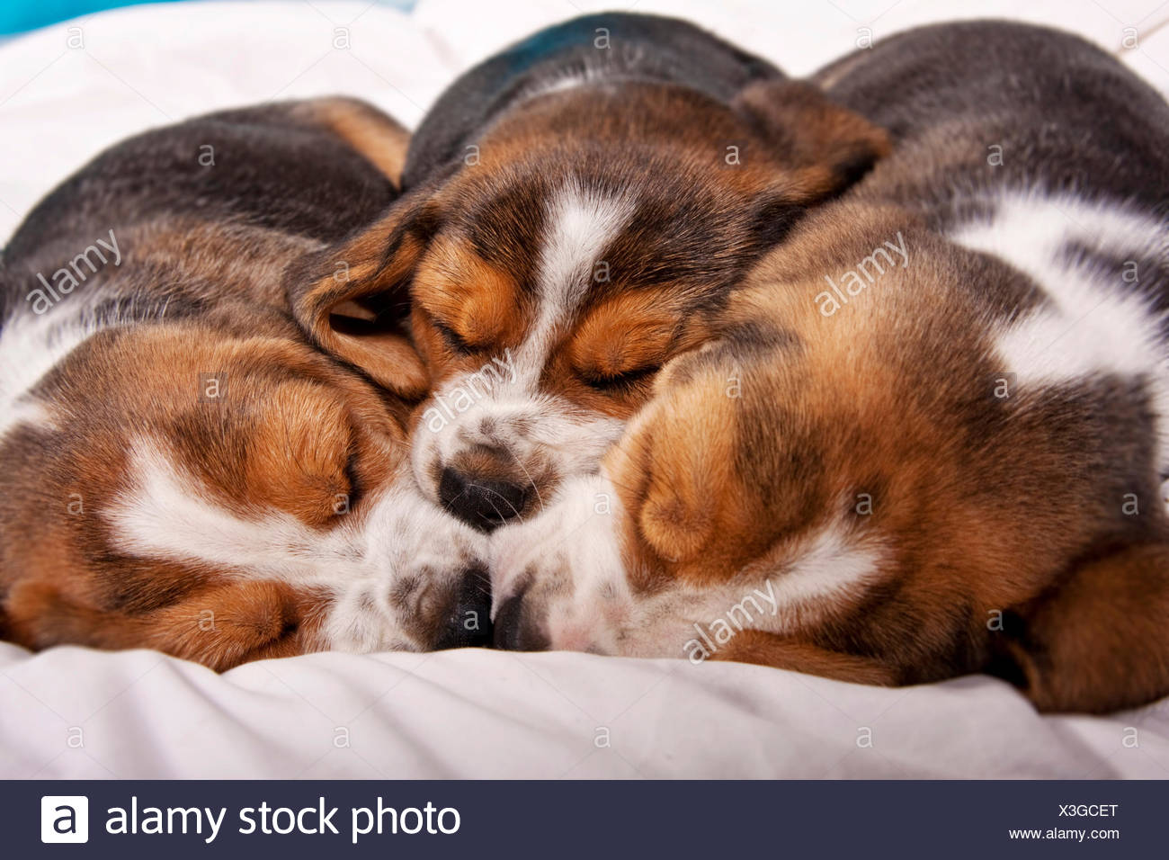 Three Beagle puppies sleeping nose to nose - Stock Image