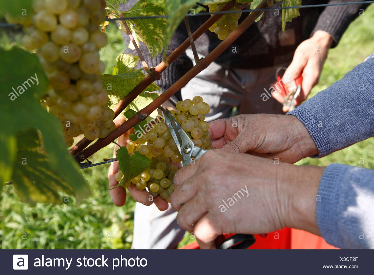 Hands harvesting grapes in Langegg, Southern Styria, Austria, Europe - Stock Image
