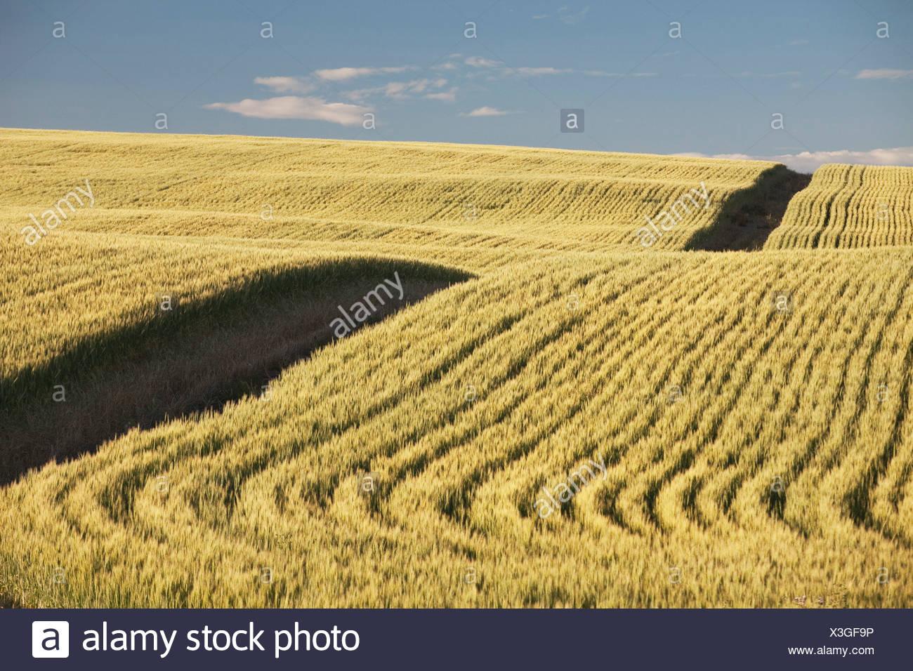 Green Wheat Field, Central Alberta, Canada - Stock Image