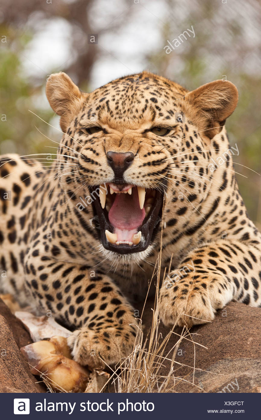 Portrait of a hissing leopard (Panthera pardus), Tshukudu Game Lodge, Hoedspruit, Greater Kruger National Park, Limpopo Province - Stock Image