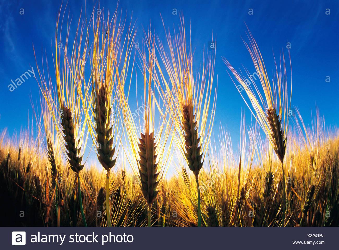 maturing barley, Manitoba, Canada - Stock Image