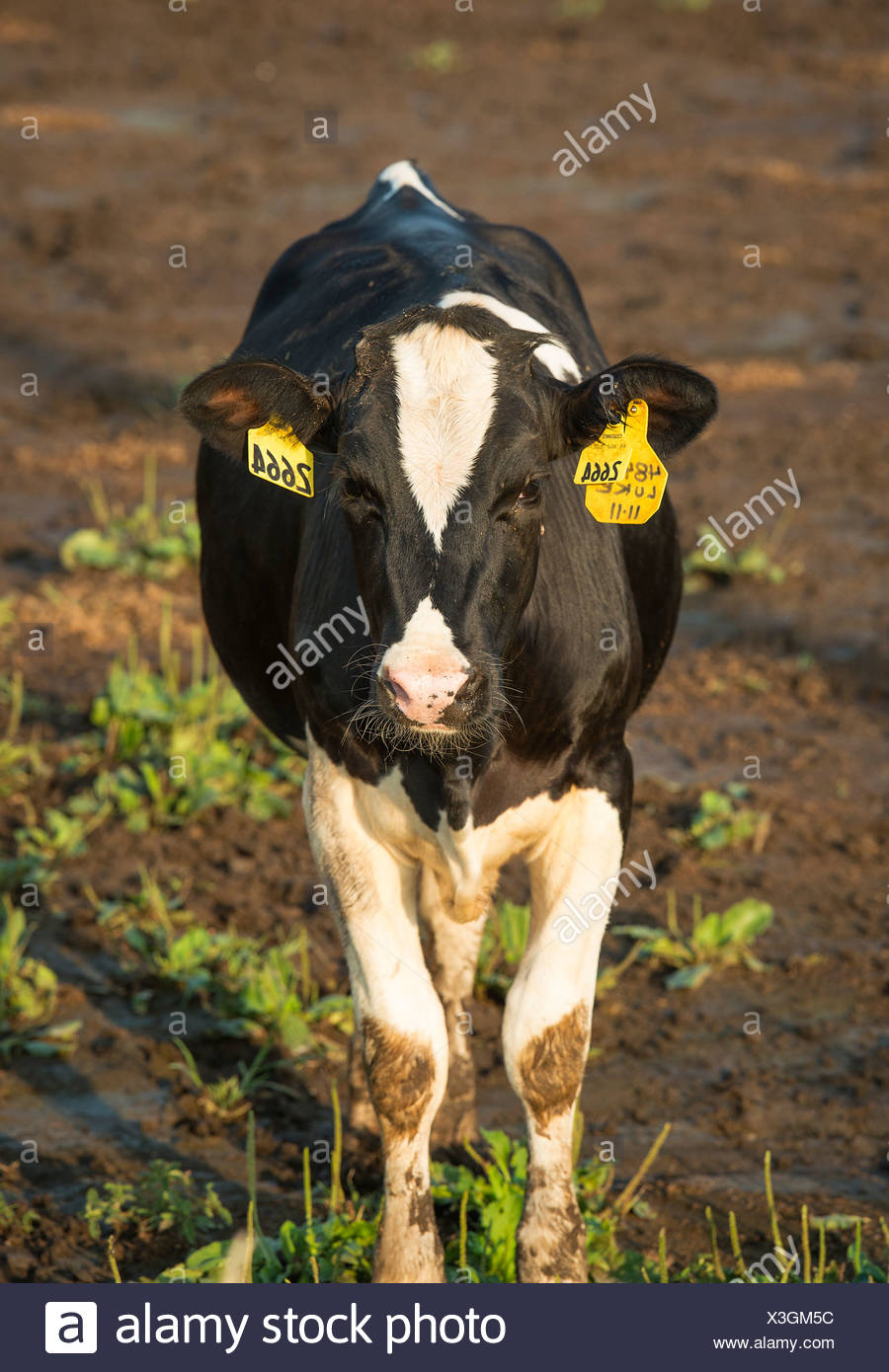 Cow tagged for identification. - Stock Image