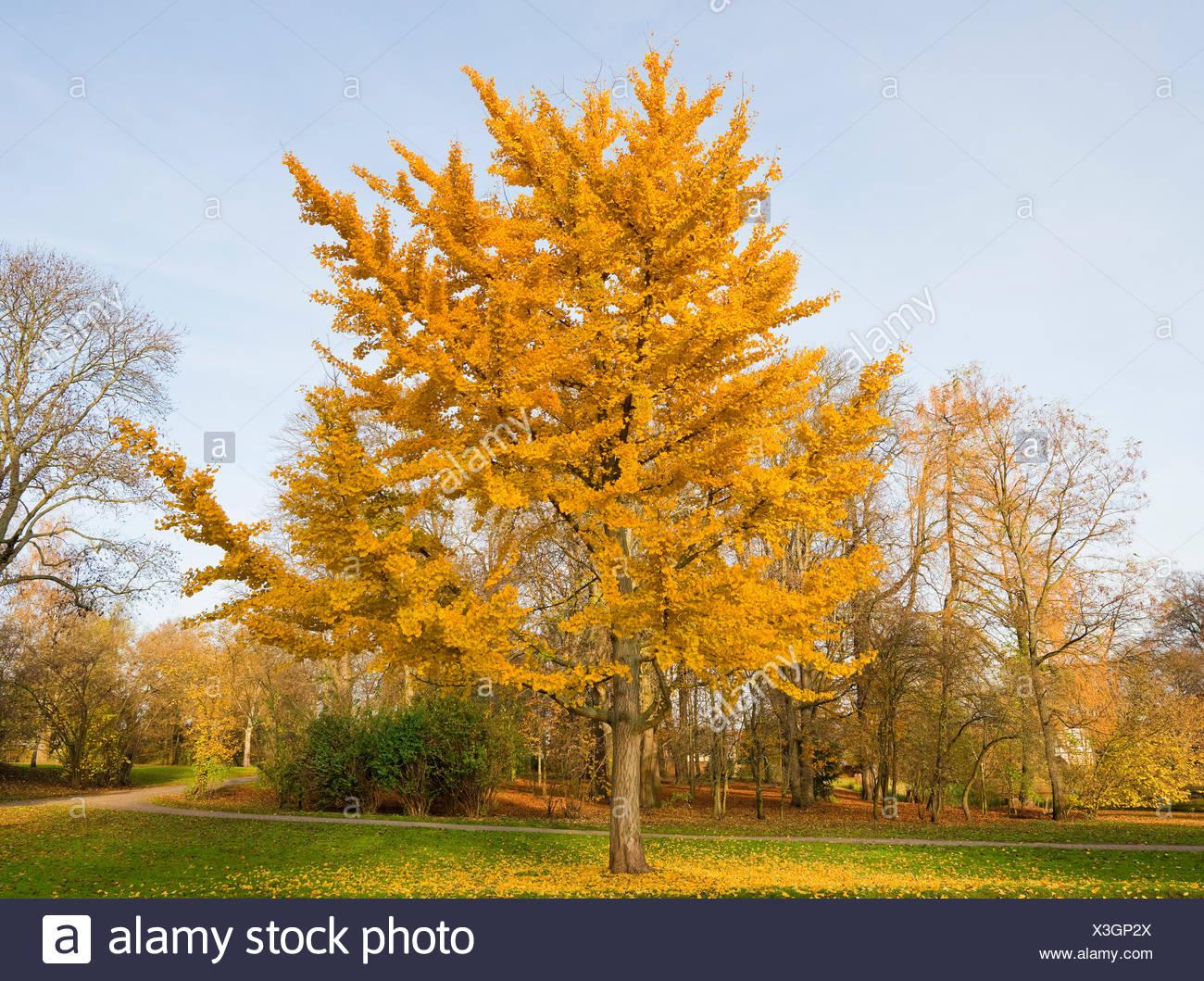 Ginkgo Tree Ginkgo Biloba With Colourful Autumnal Foliage Park