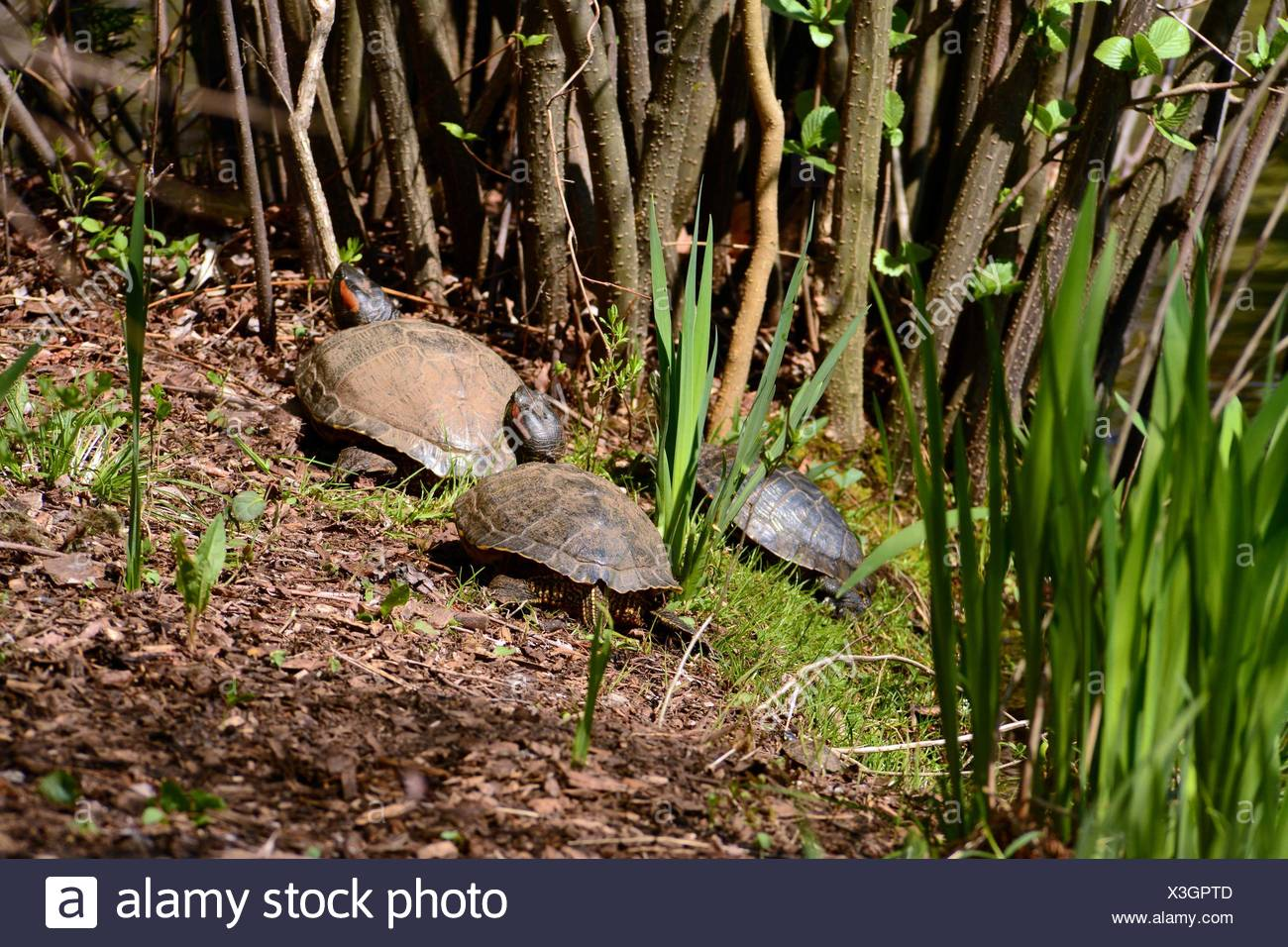 Three red-eared slider turtles, Trachemys scripta elegans, basking in the sun. - Stock Image