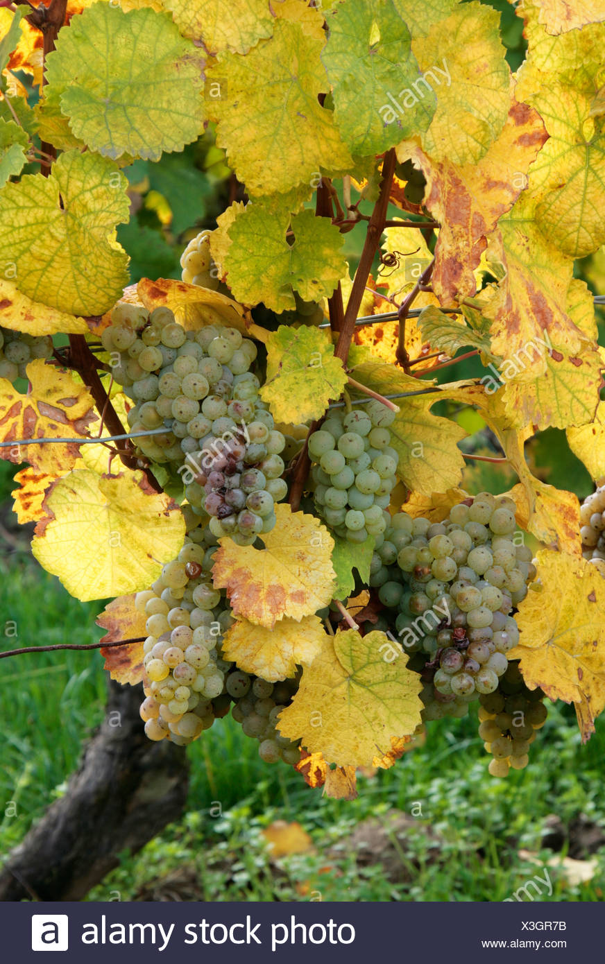 Riesling grapes ready for harvest Stock Photo