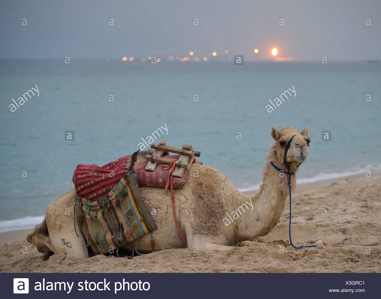 Camel lying on the beach, Inland Sea, desert miracle of Qatar, petrochemical plant, gas production facility at back - Stock Image