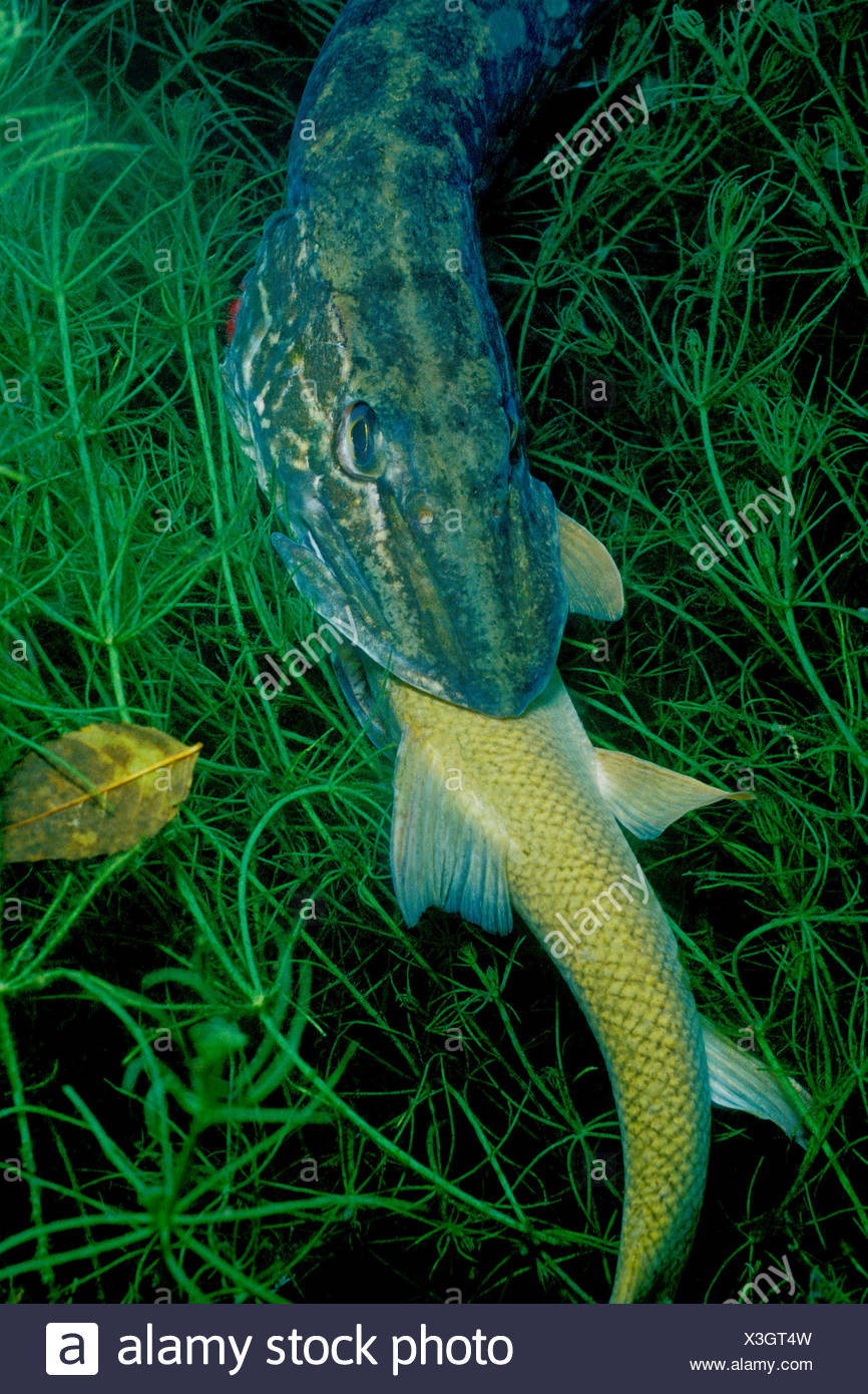 Barbel Stock Photos Images Alamy 6 Kg Northern Pike Eating Common Baden Wurttemberg Germany Esox Lucius