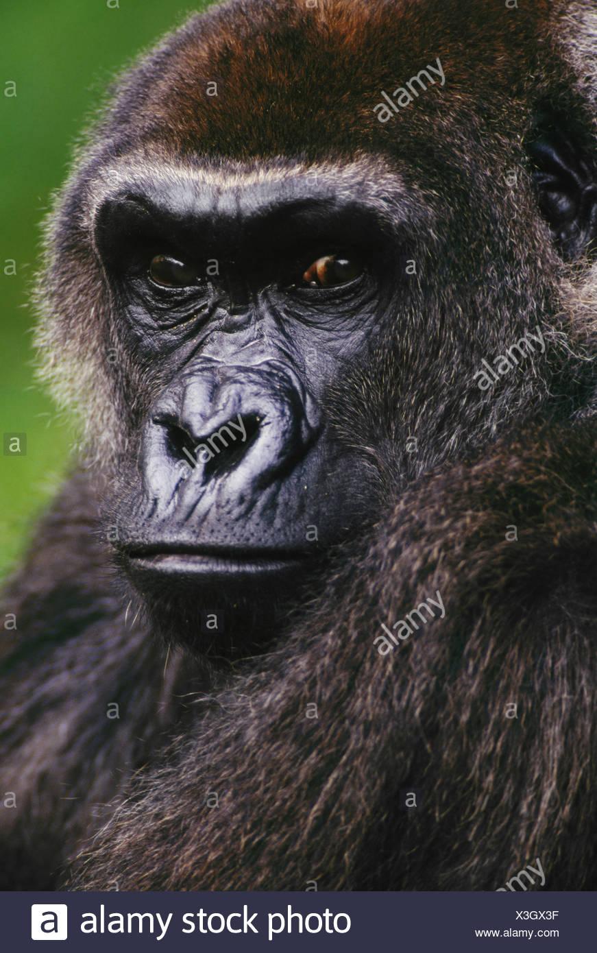 Lowland gorilla Gorilla gorilla Native to Congo (DRC) Congo - Stock Image