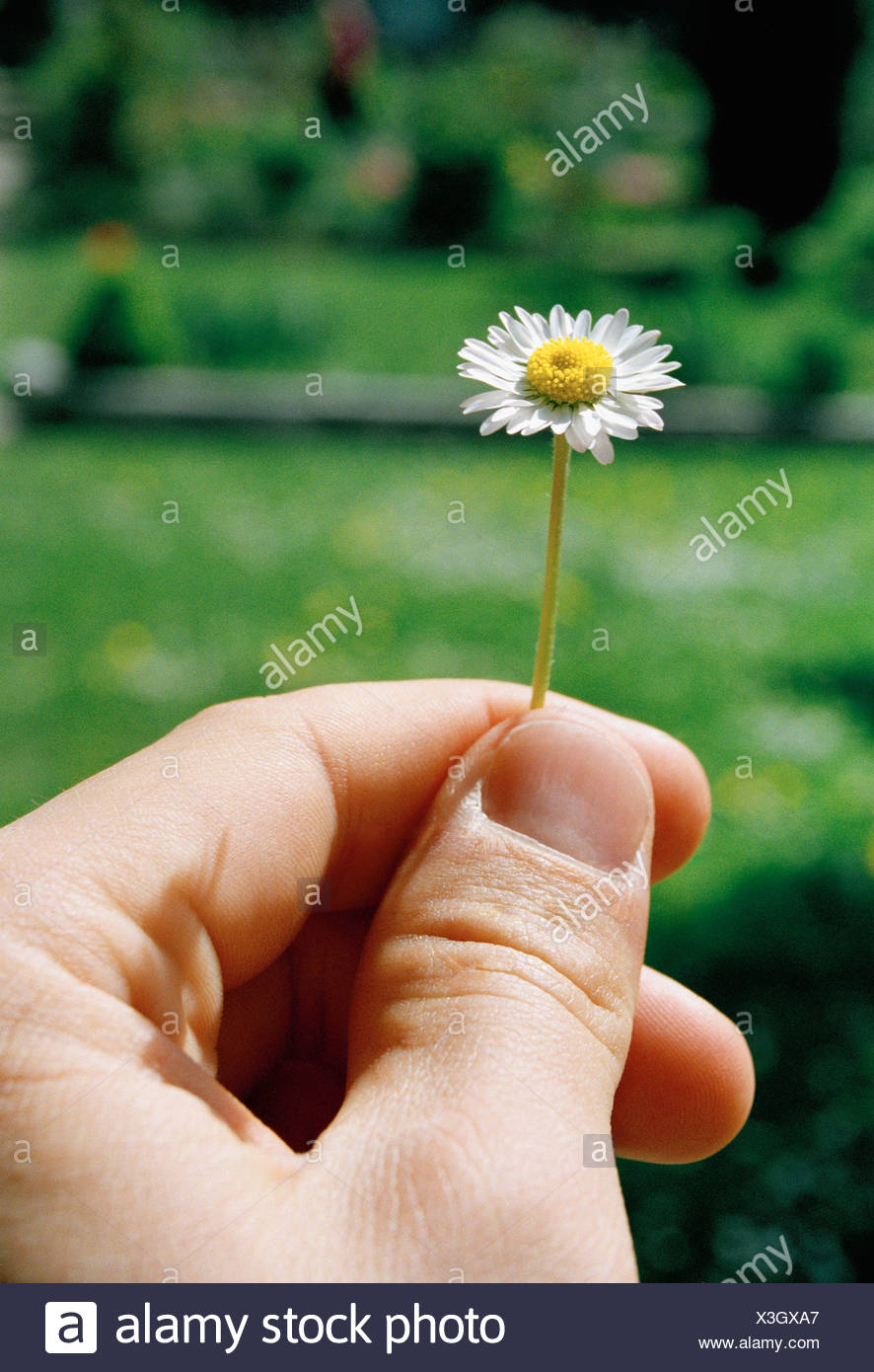 Detail of a man holding a small daisy - Stock Image