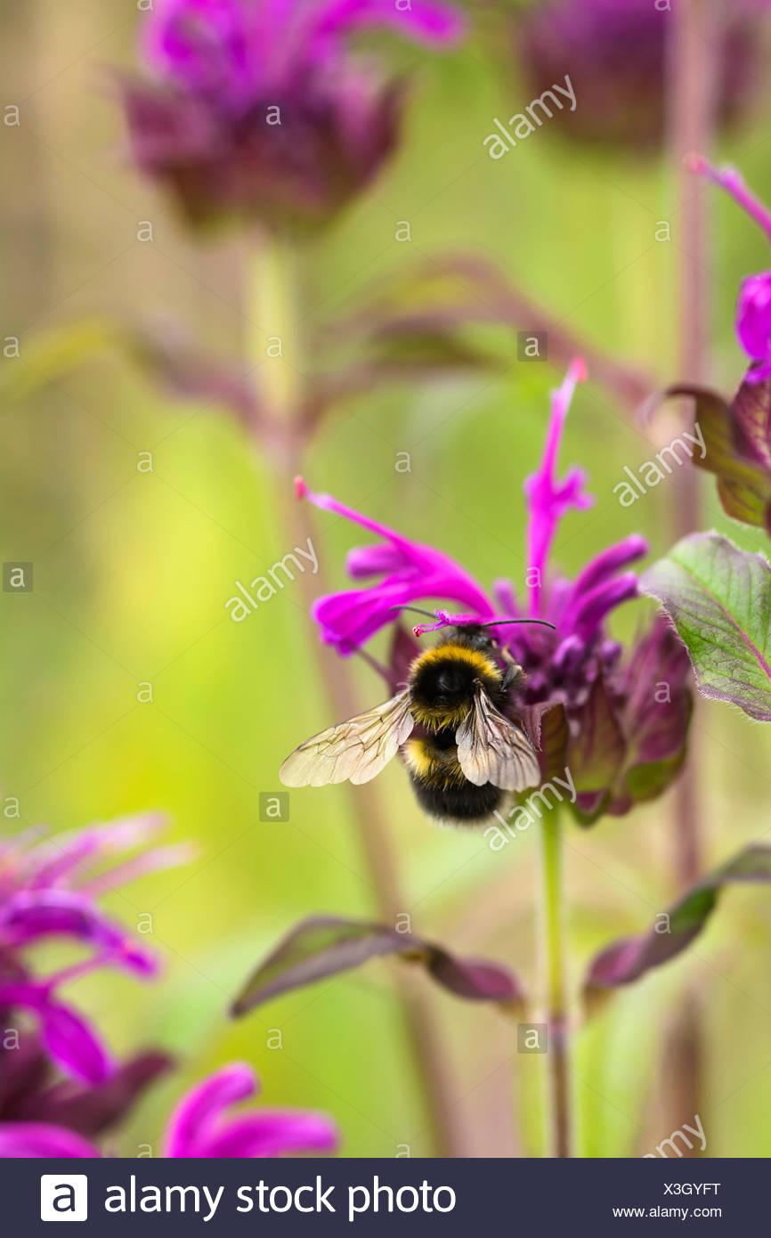 Bergamot, Bee balm, Monarda fistulosa, Garden bumble bee, Bombus hortorum, pollinating a pink flower. - Stock Image