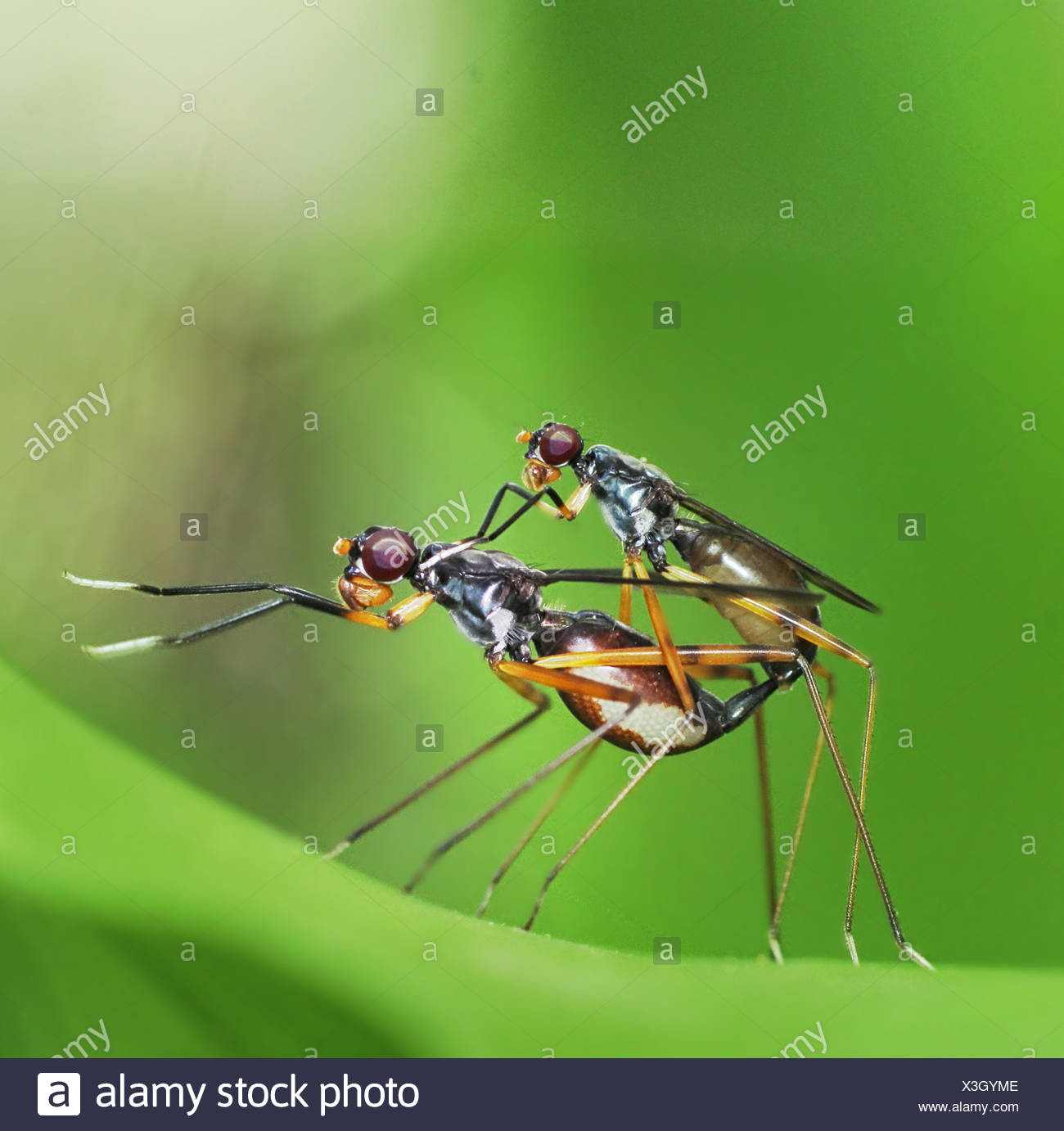 Mating insects - Stock Image